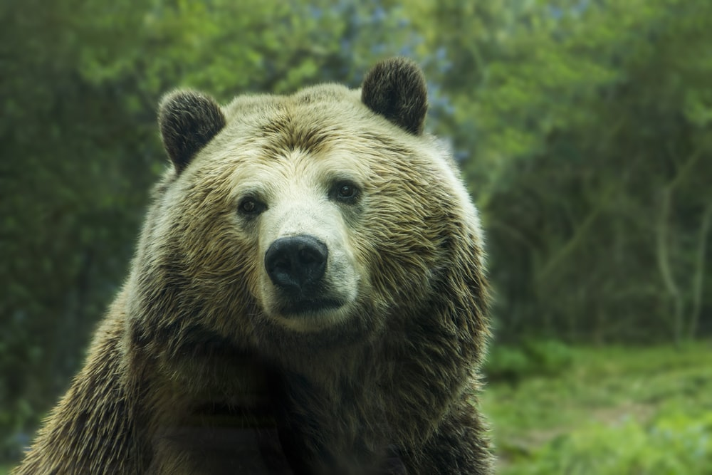 brown bear near grass field