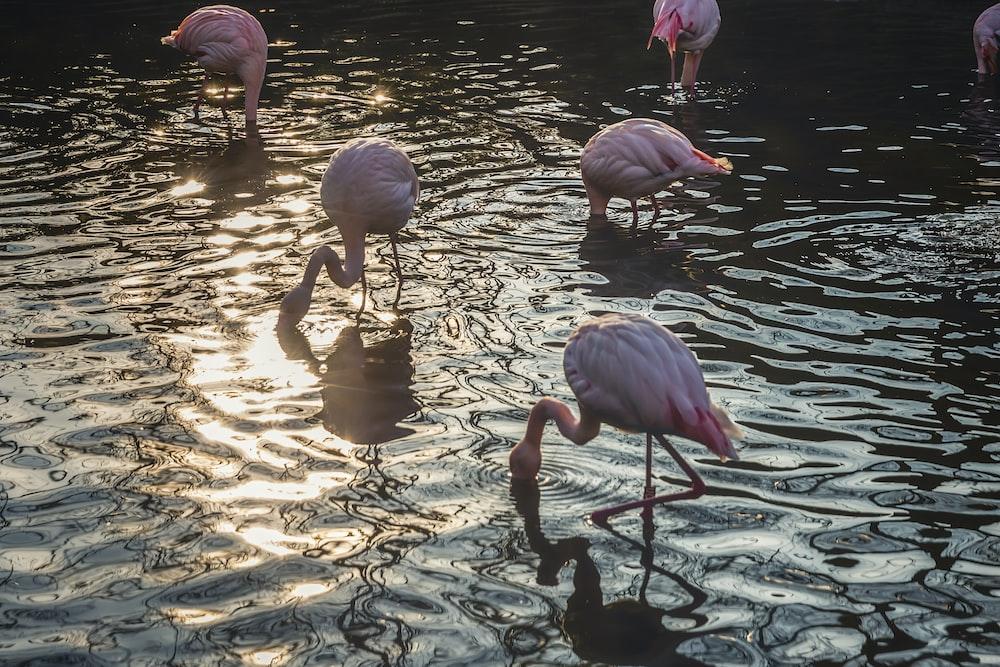 flock of flamingos drinking water