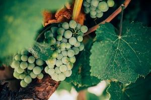 4604. Bor,szőlő, borászatok