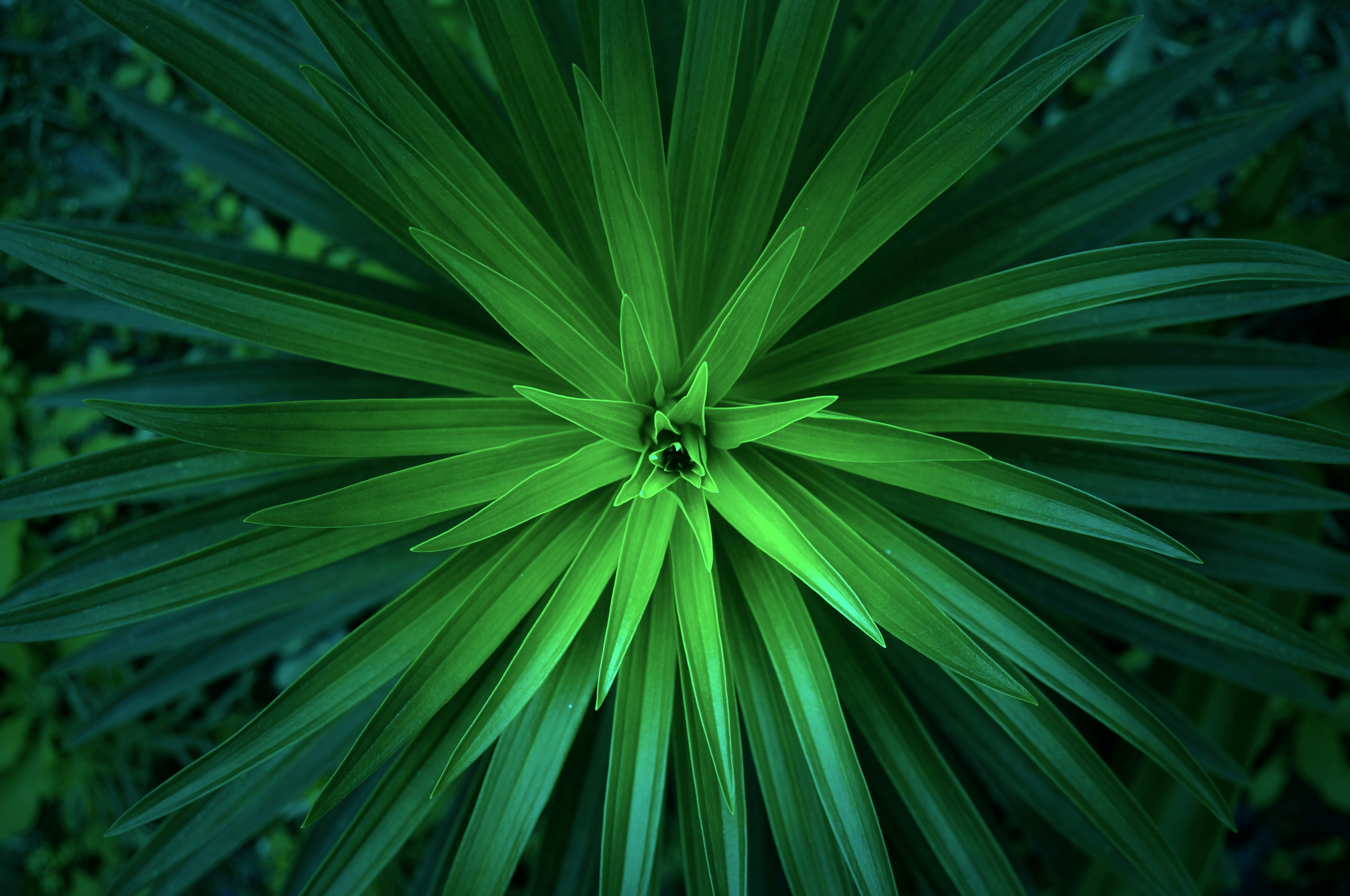 A top view of a green plant with long thin leaves forming a concentric pattern