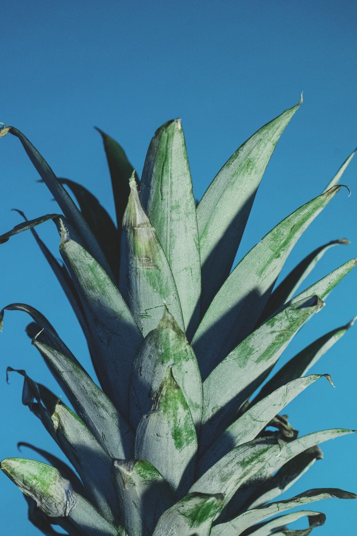 green pineapple leaves