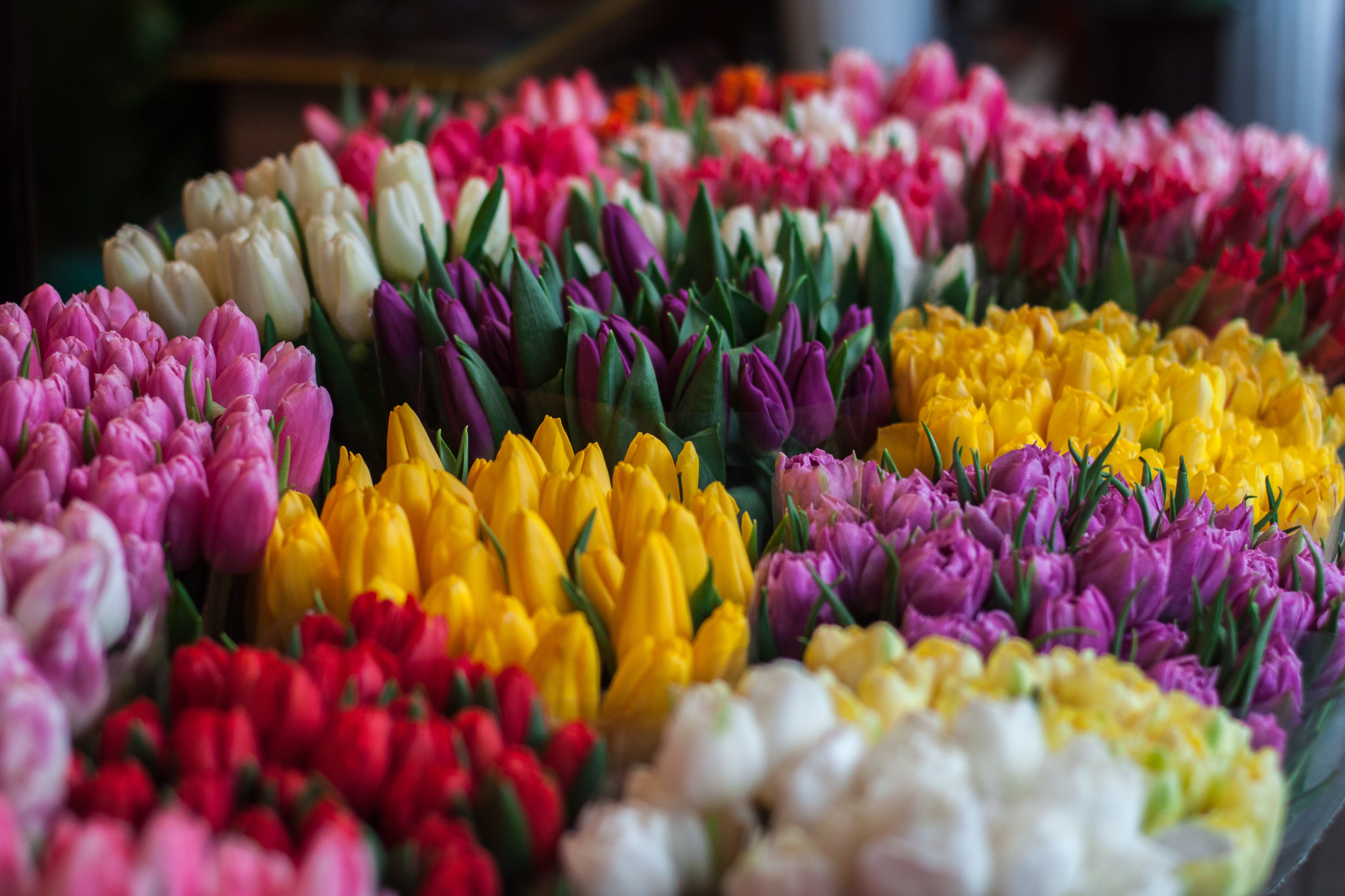 Yellow, purple, red, white and pink tulips in bloom in Spring, Lviv