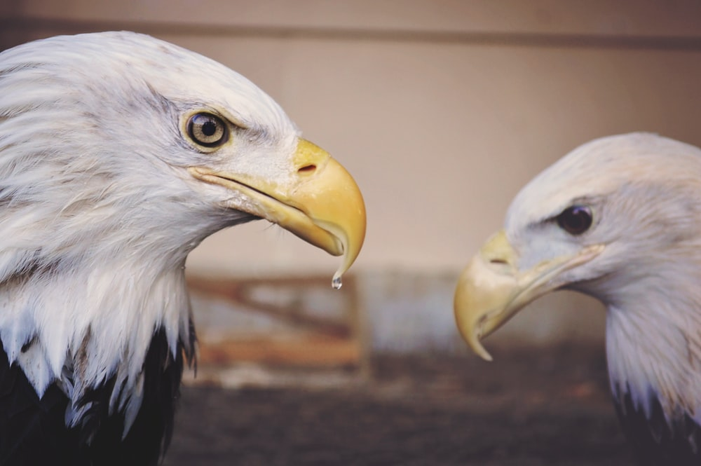 American Eagles during daytime