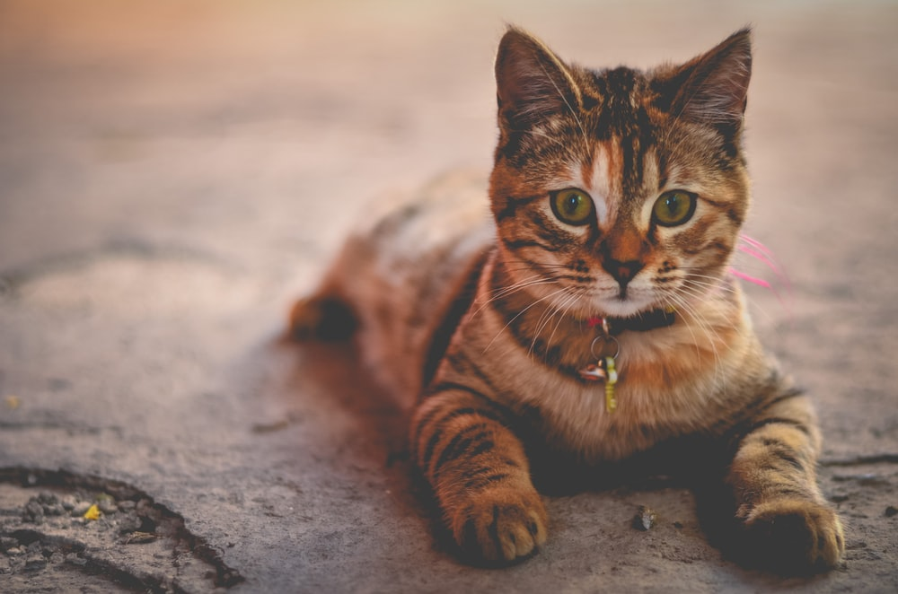 27 cats pictures download free images on unsplash close up of a tiger striped tabby kitten in a collar voltagebd Gallery