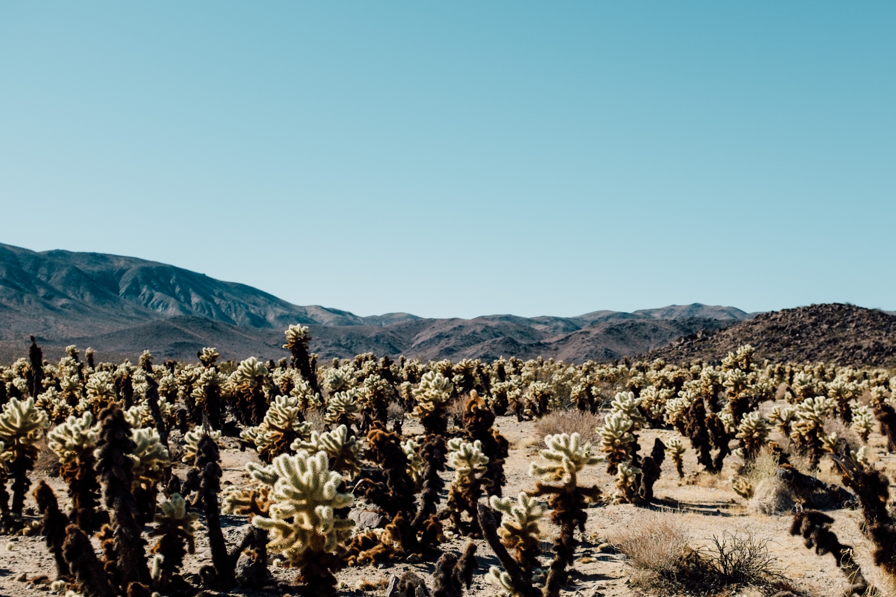 Cacti and succulents in the desert landscape of Joshua Tree