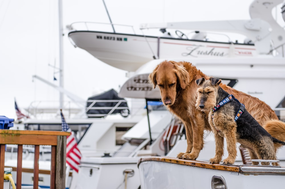 long-coated brown dog on white boat