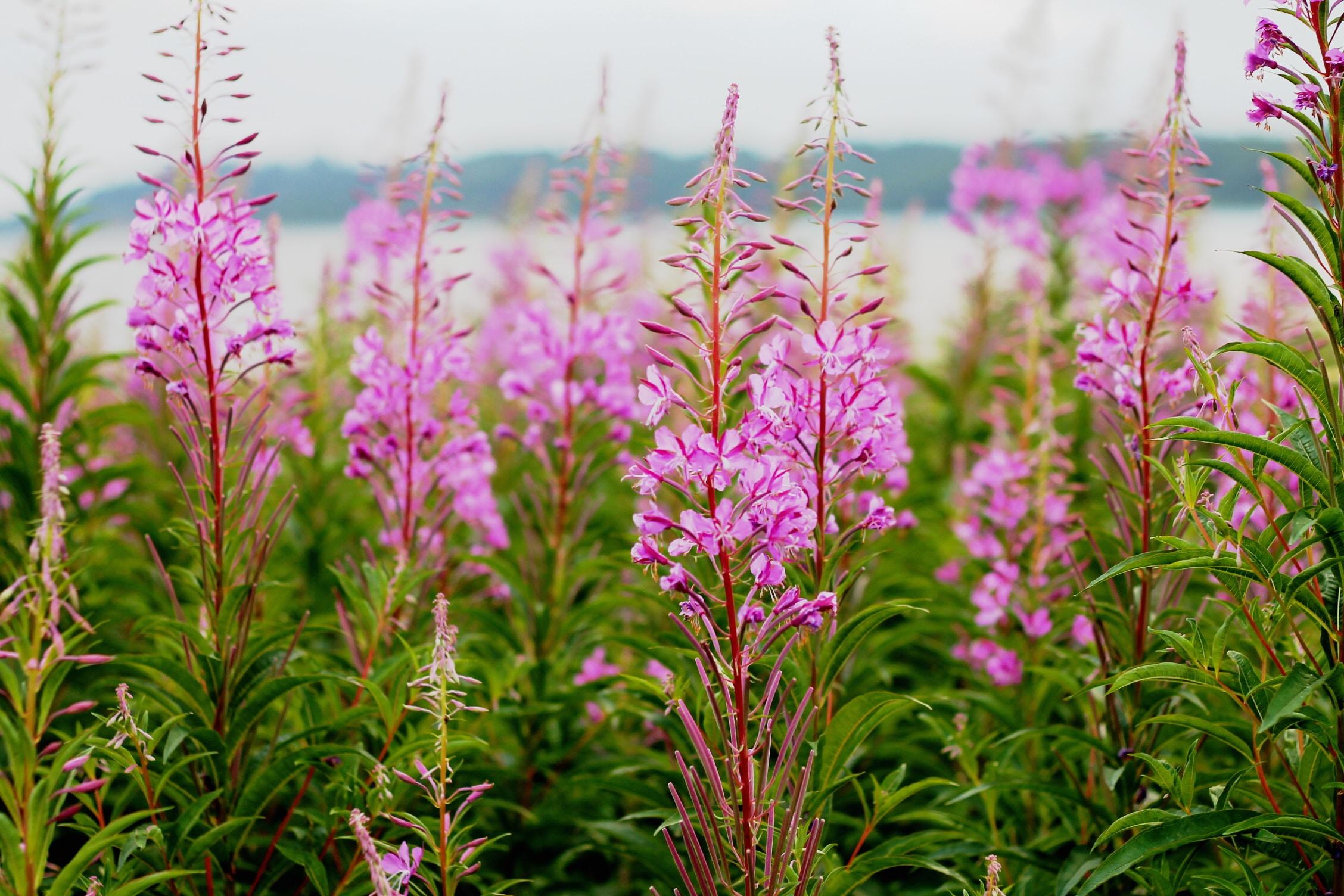 Purple flowers with green leaves bloom near the water in Denmark