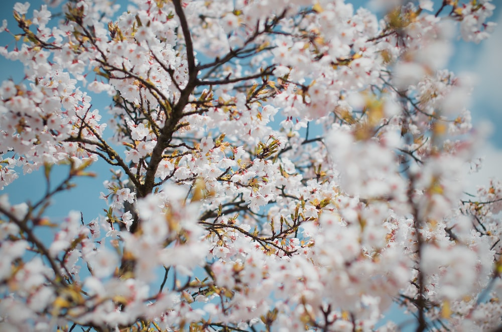 white petaled flowers bloom