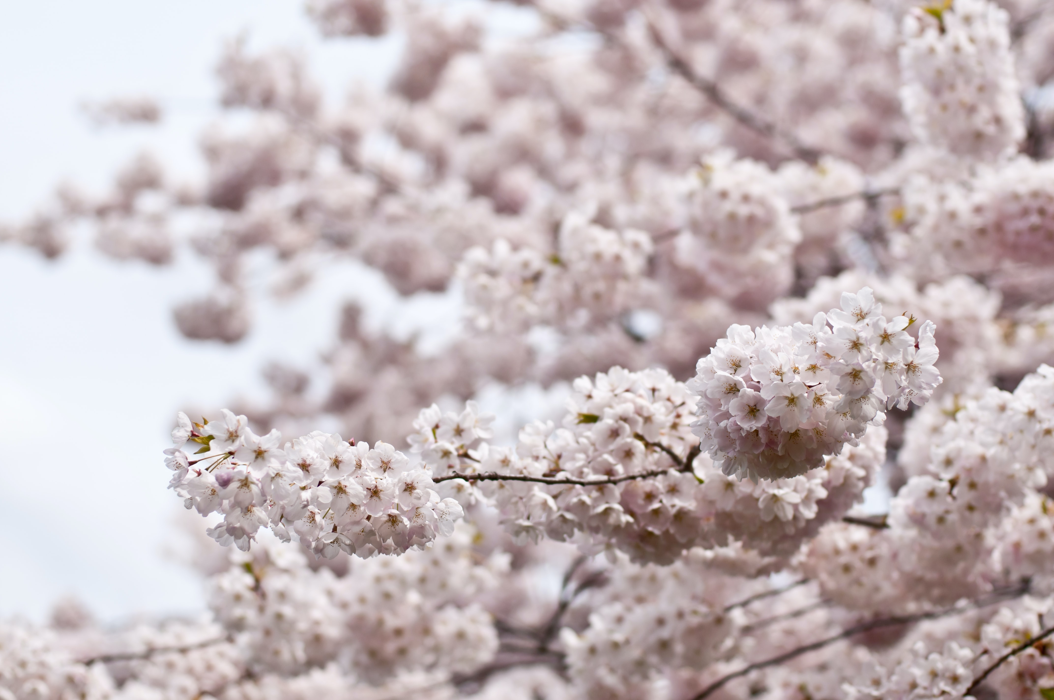 Cherry tree in Spring with thick pink blossom in full bloom and blue sky