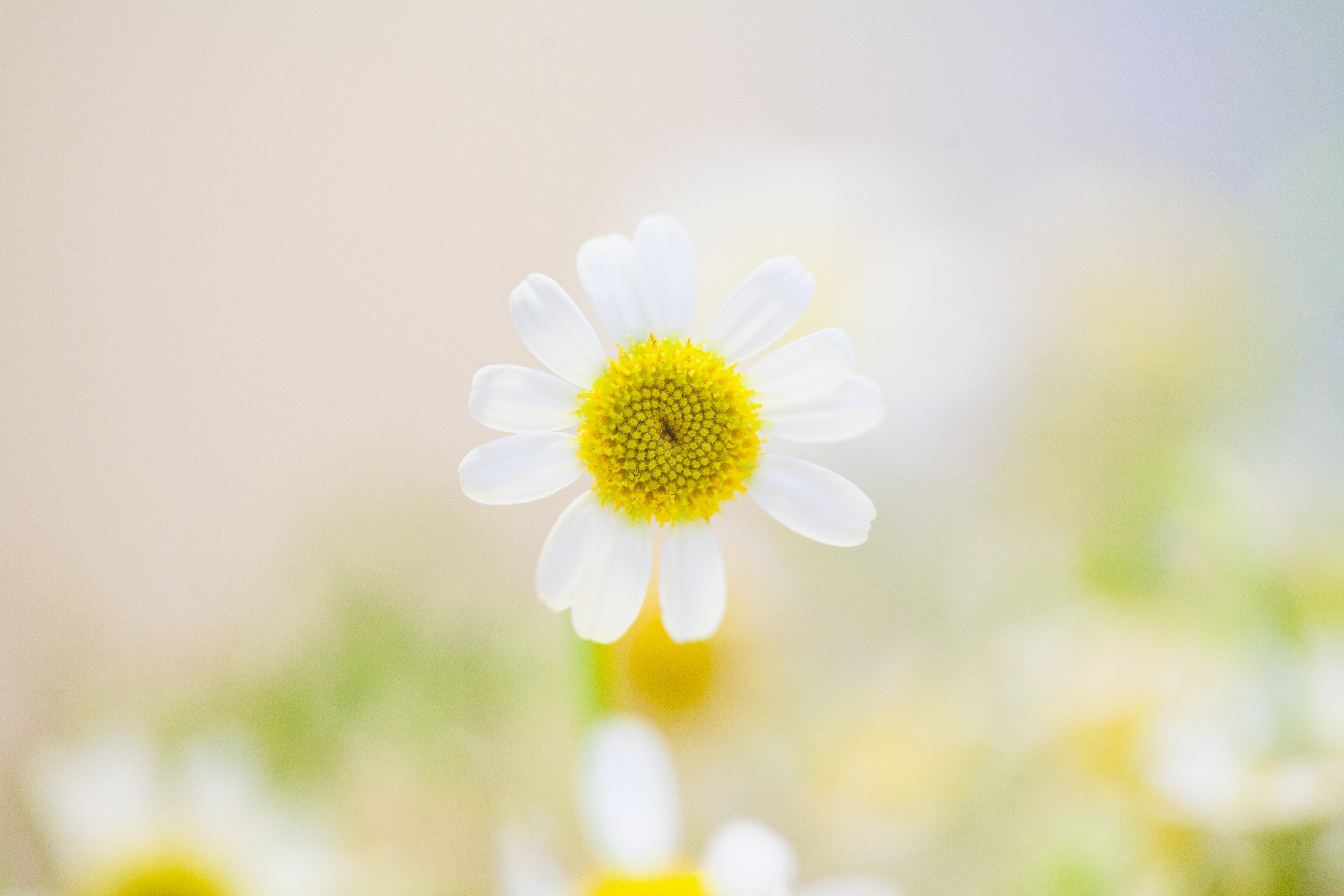A daisy with a yellow center and white petals