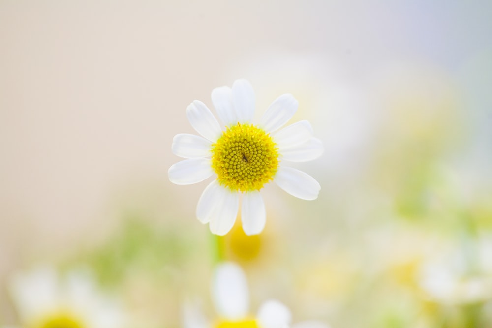 Daisy photo by maria shanina mariashanina on unsplash a daisy with a yellow center and white petals mightylinksfo