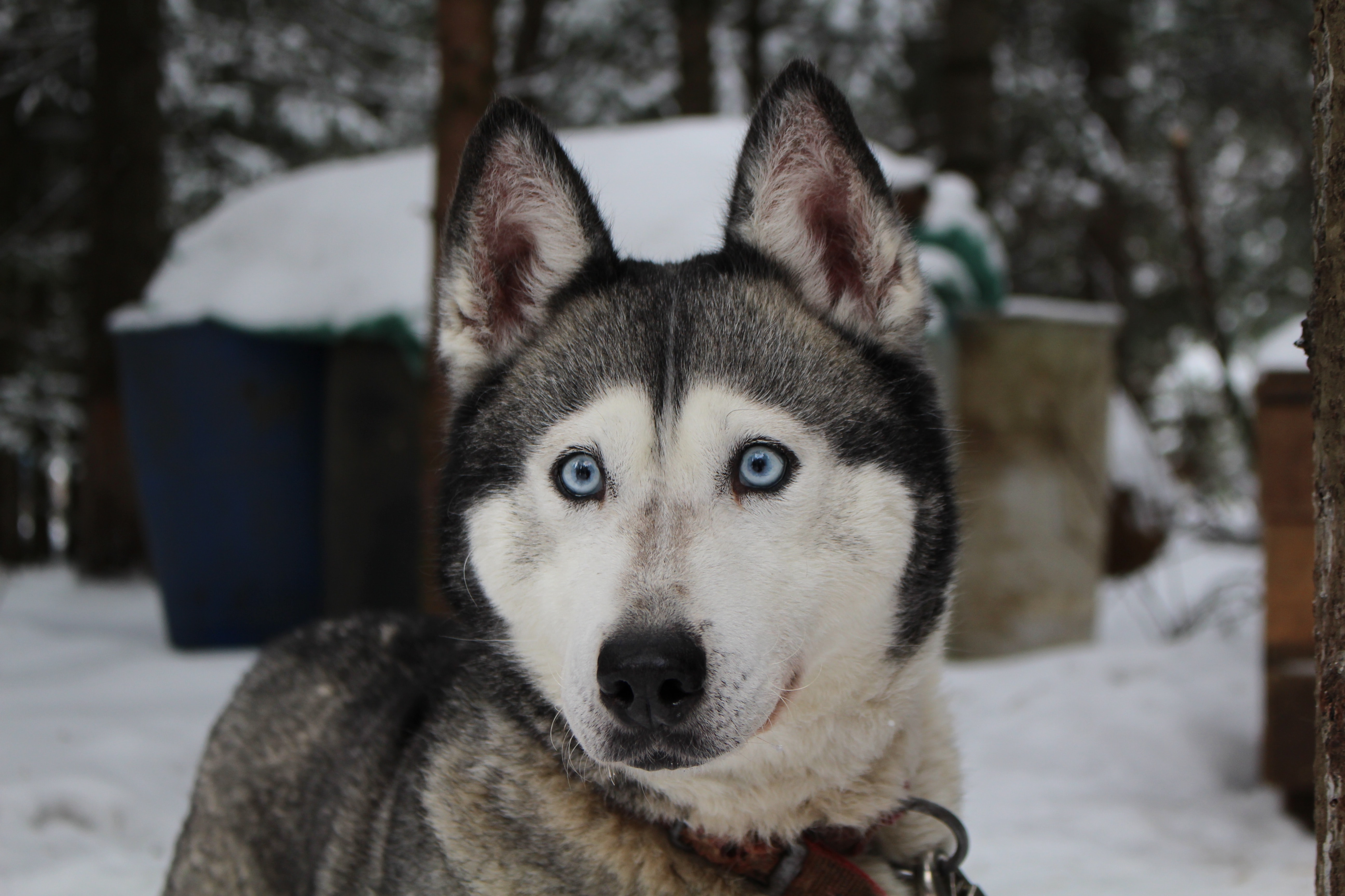 Siberian husky dog with bright blue eyes in the snow