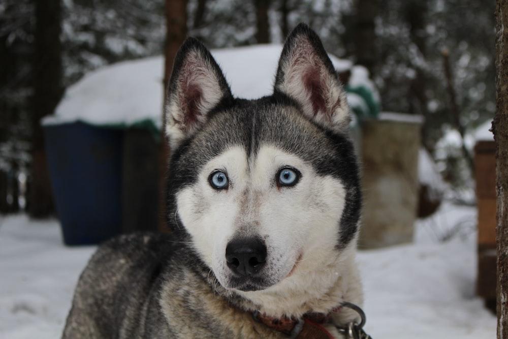 close-up photo of Syberian husky
