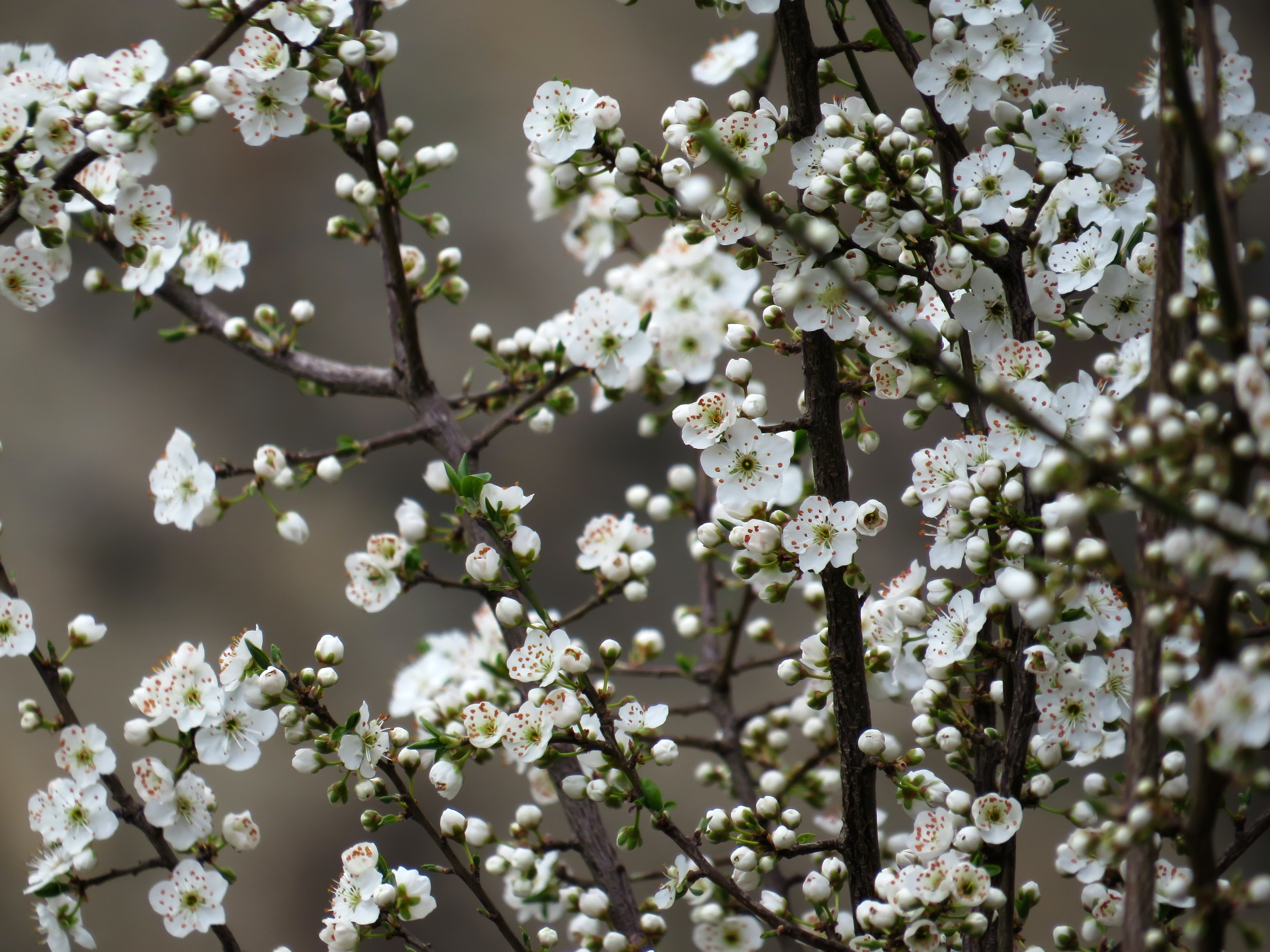 A close-up of branches with white flowers in blossom