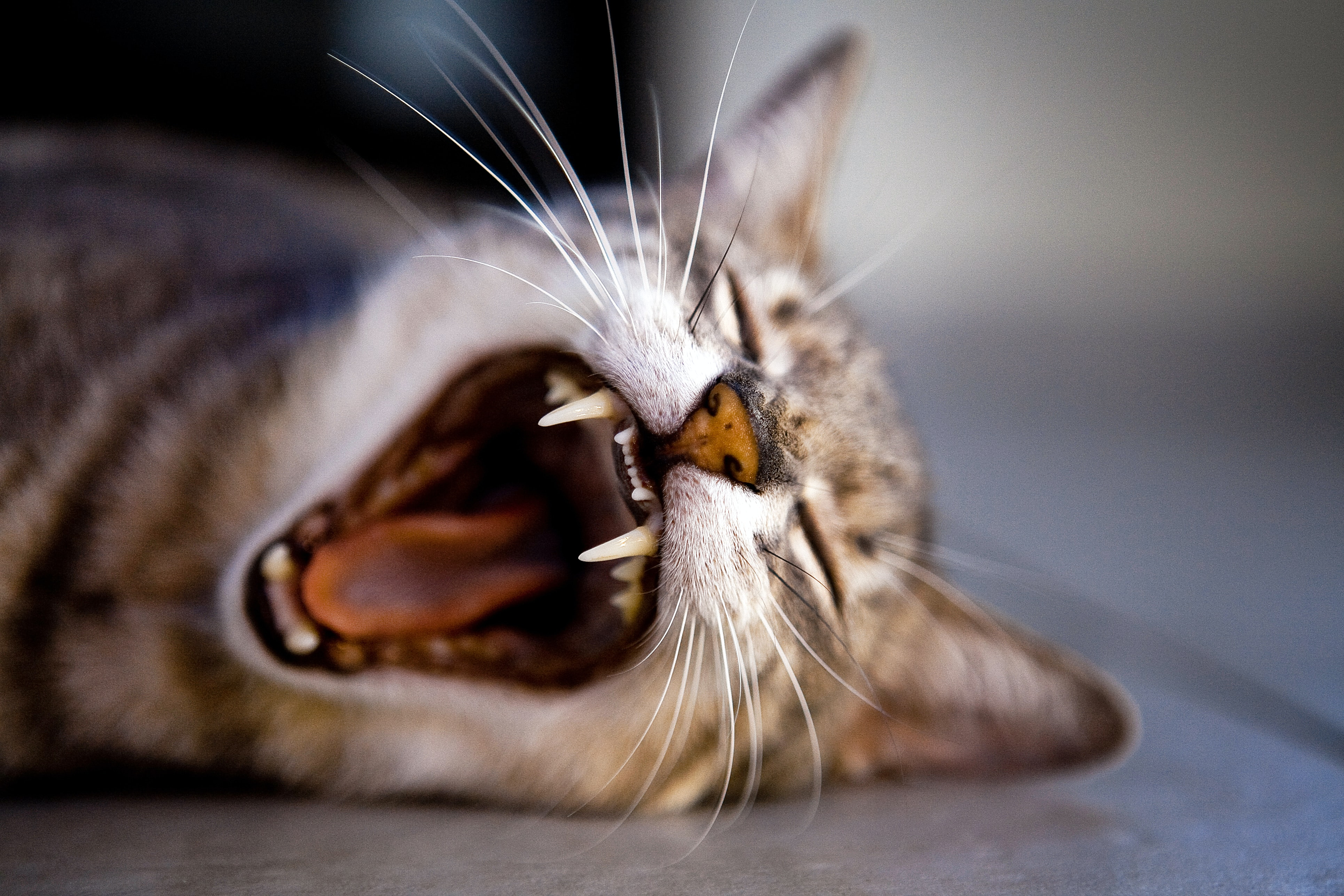 brown tabby cat lying on ground while yawning