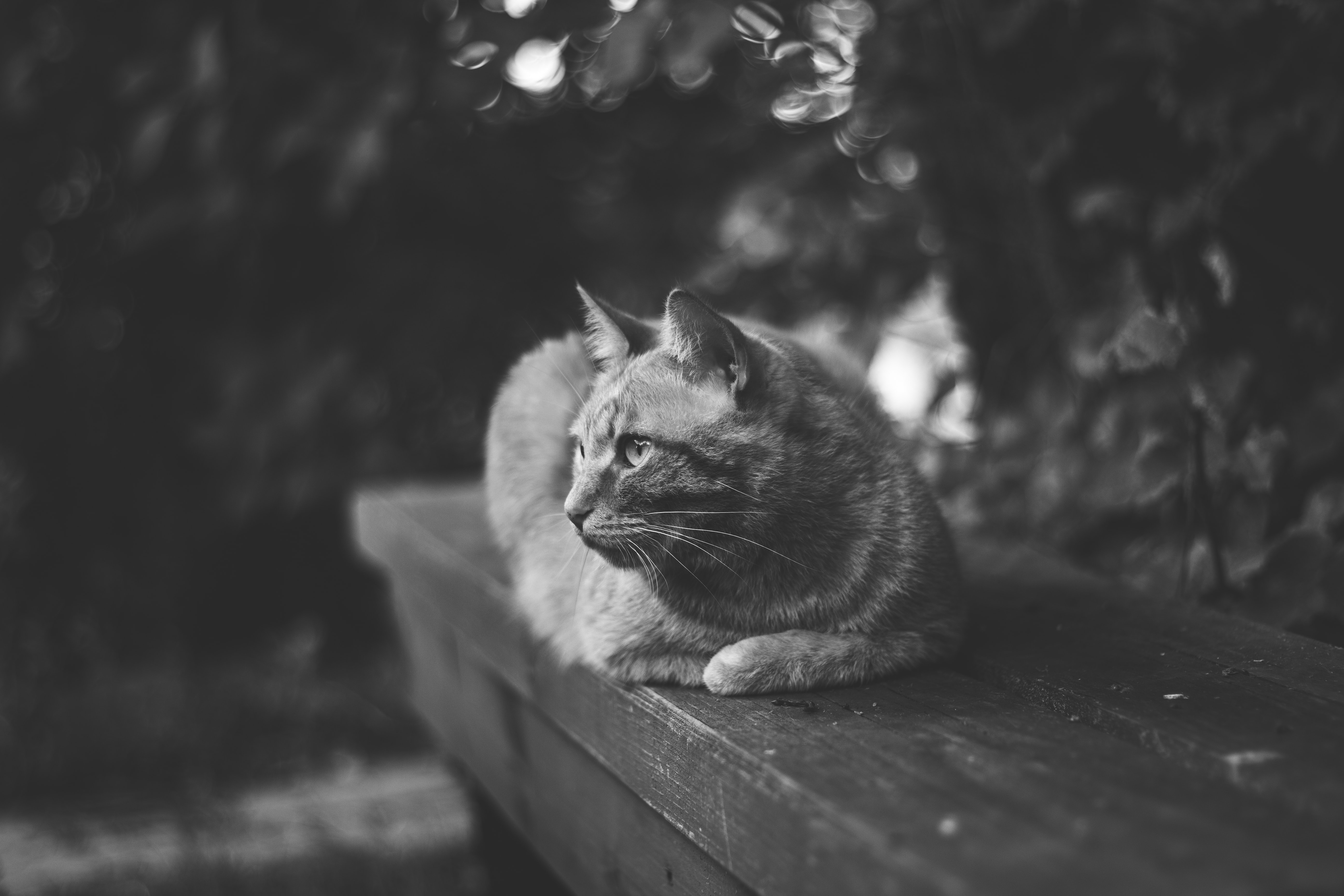 Black and white shot of domestic cat sitting on bench with trees in background
