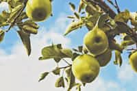 The Pear Tree pear stories