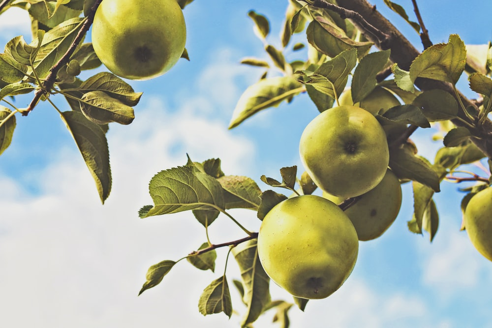 fruits on tree branch during day