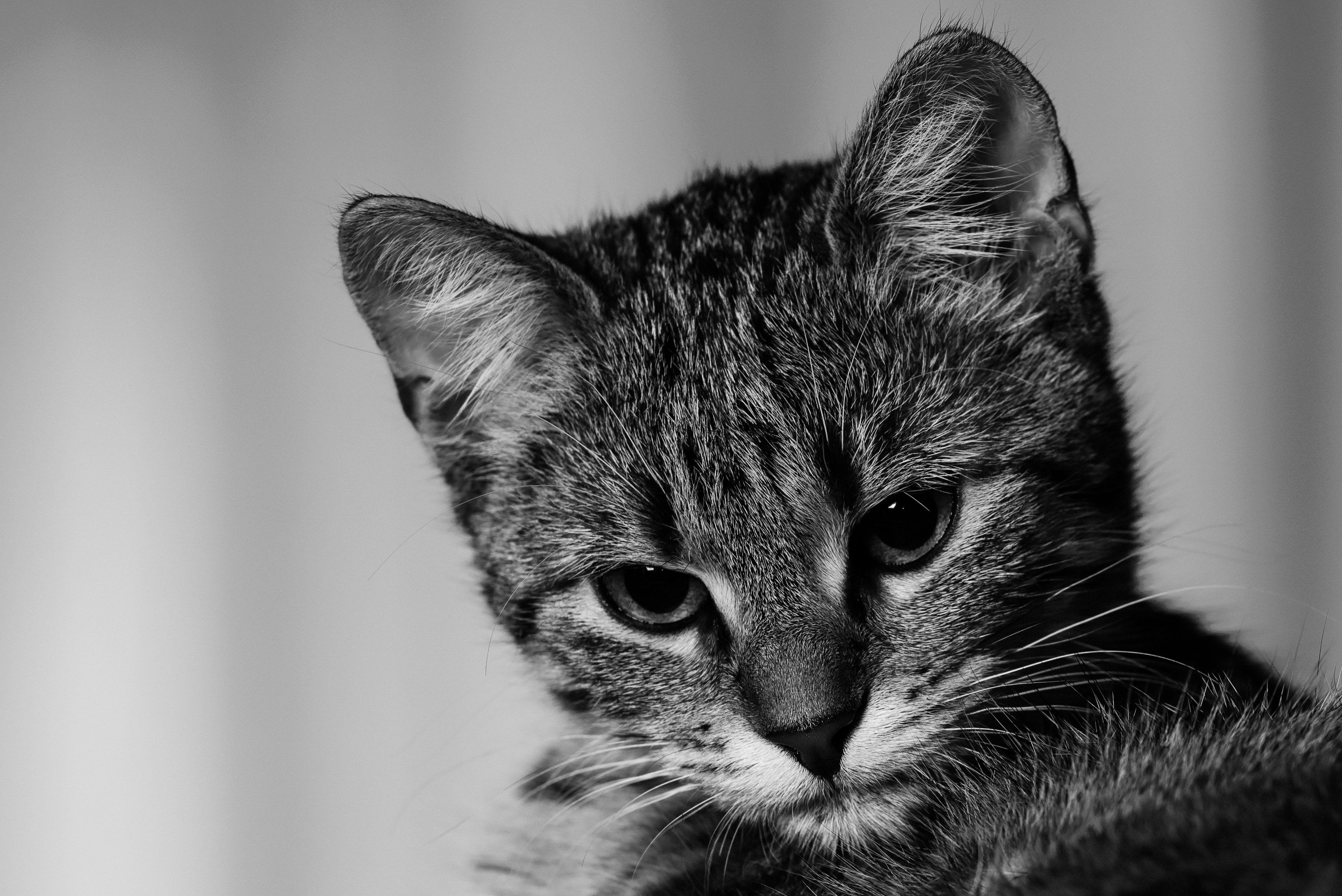 Black and white shot of domestic kitten head