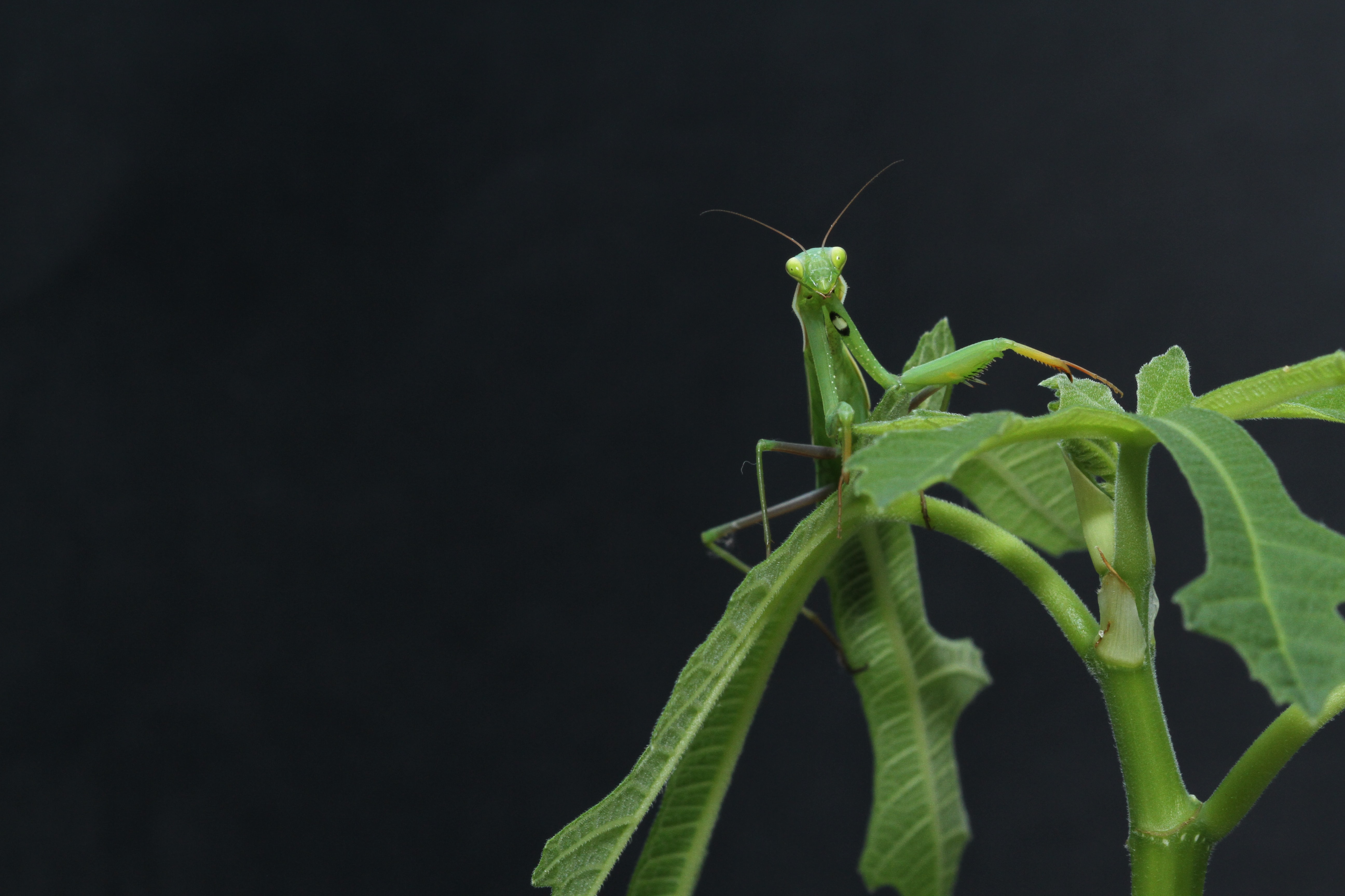 A green praying mantis sitting on the top of a green stem
