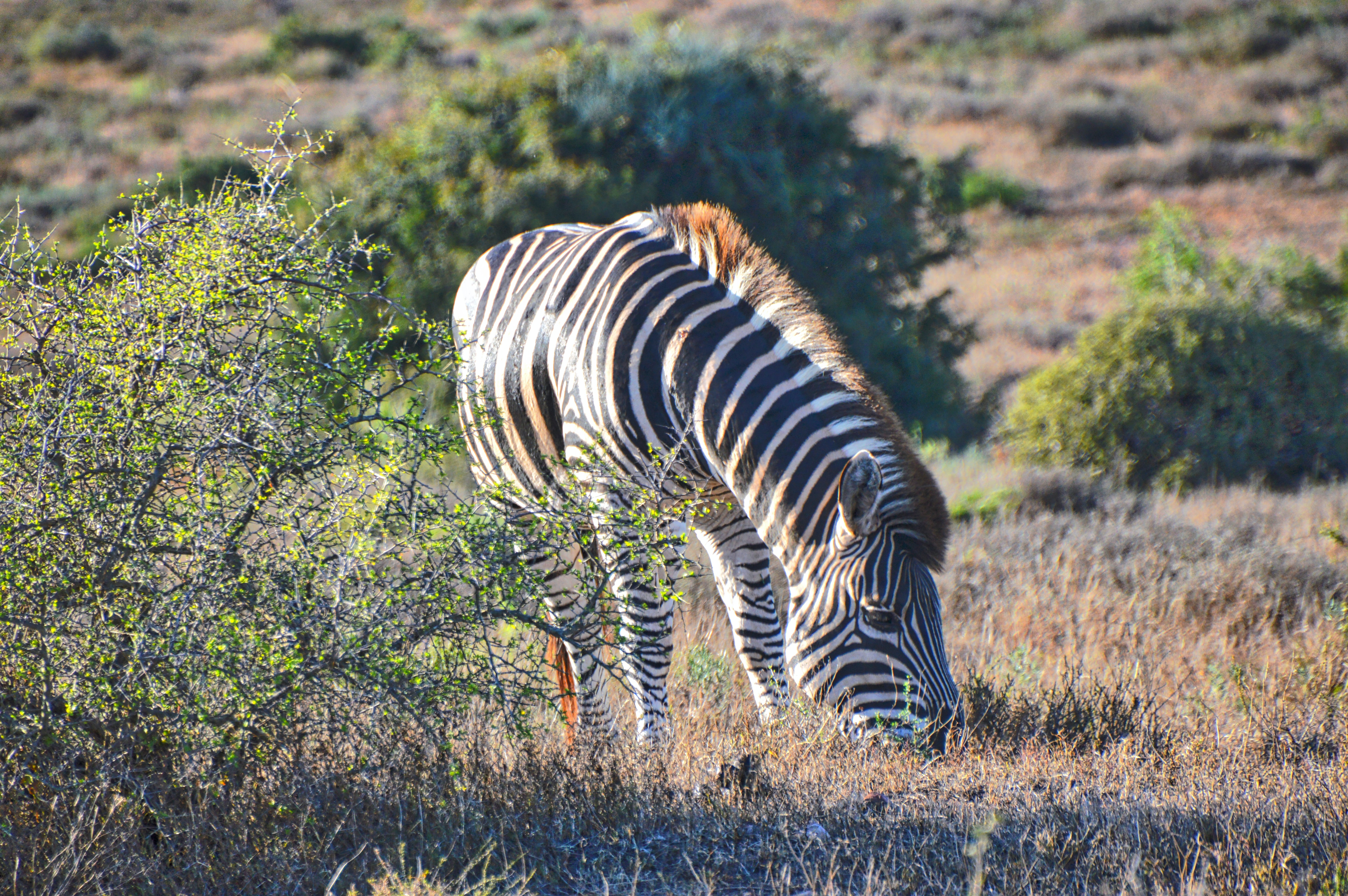 zebra eating grass during daytime