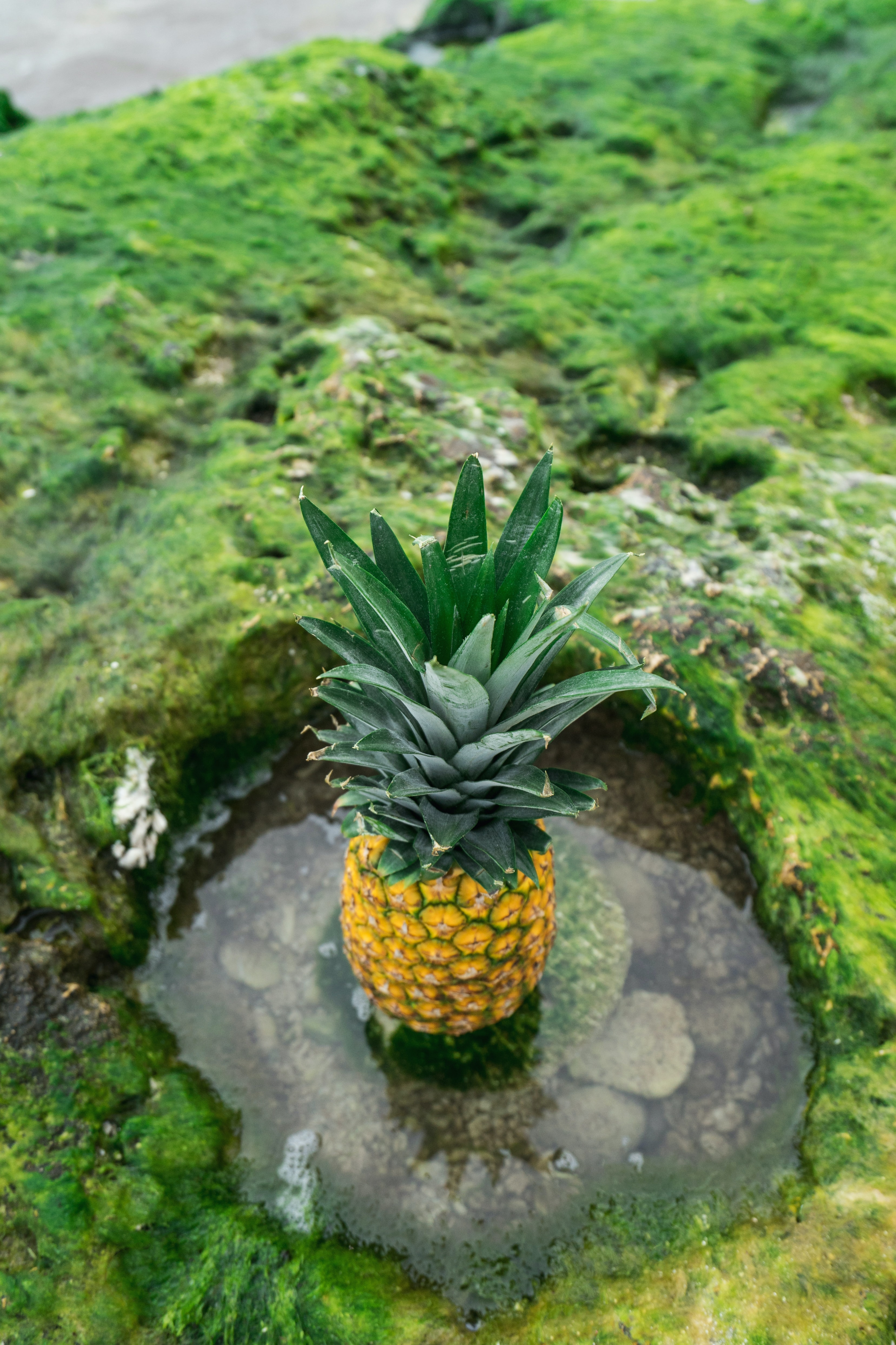 A pineapple on top of a mossy rock.
