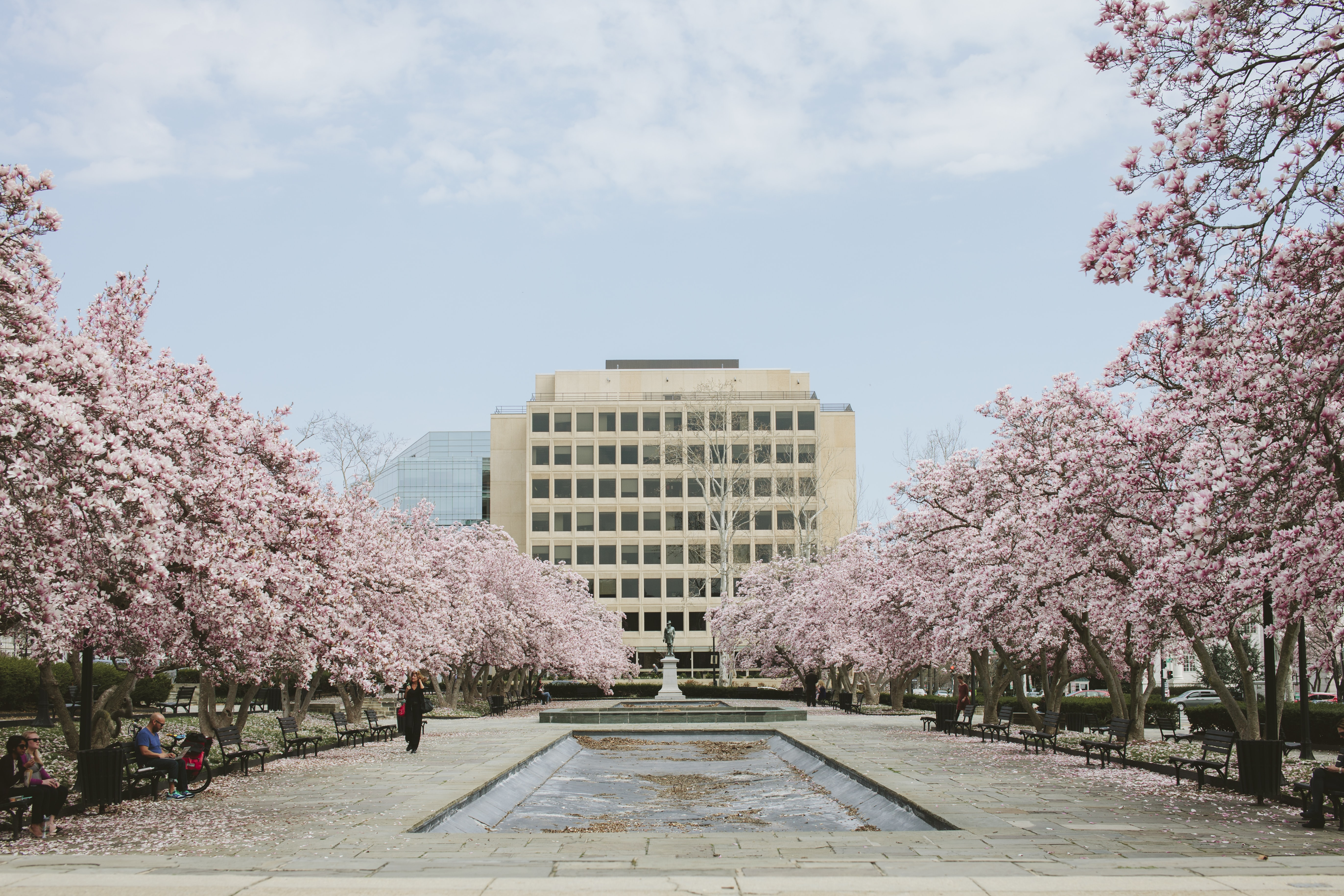 Cherry blossom trees lining public space with white building and blue sky in Spring