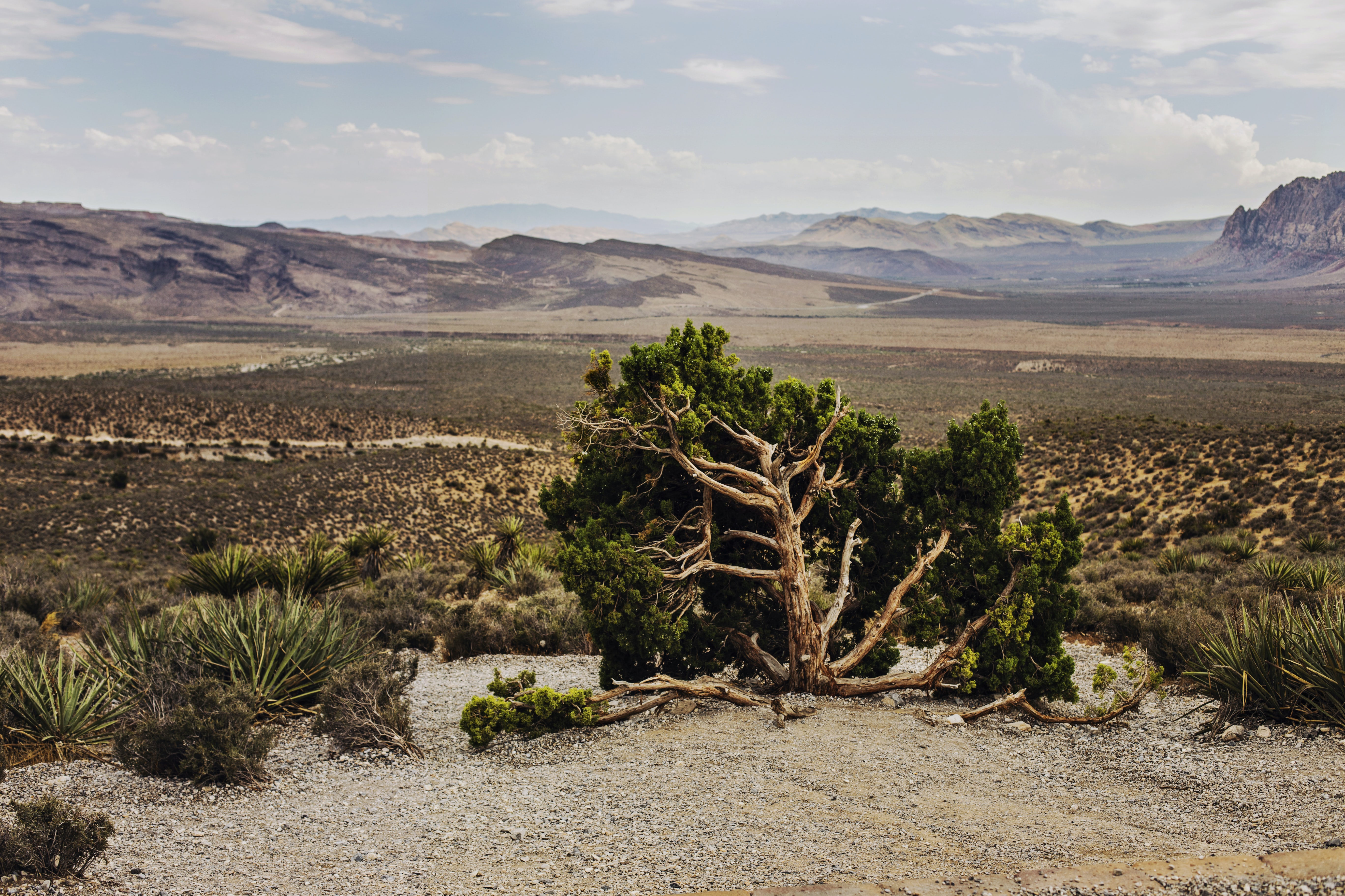 Desert tree and plants in the barren terrain of Red Rock