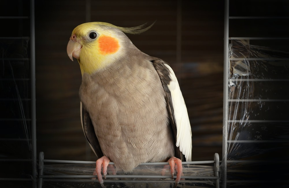 cockatiel on wire bird cage