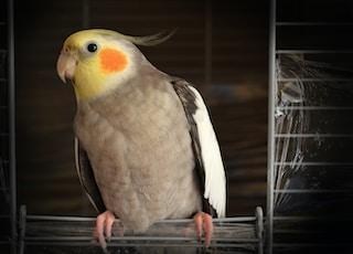 cockatiel on wire bird cage
