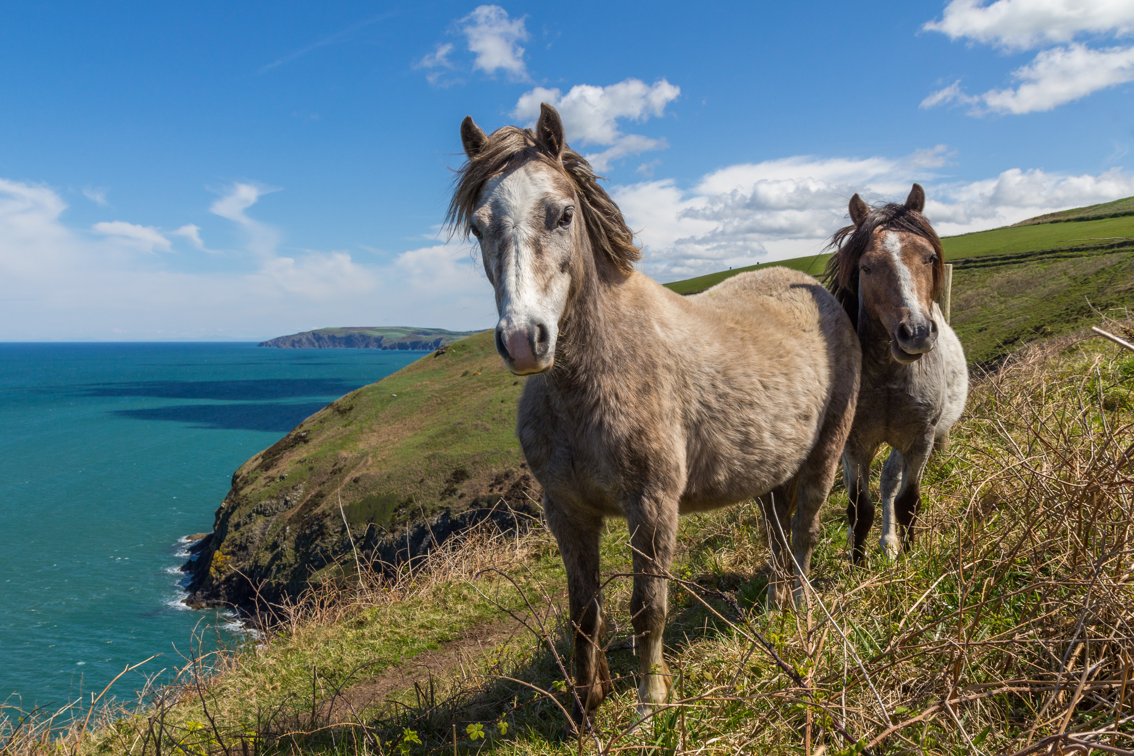 Two ponies standing close to each other on a slope overlooking azure sea