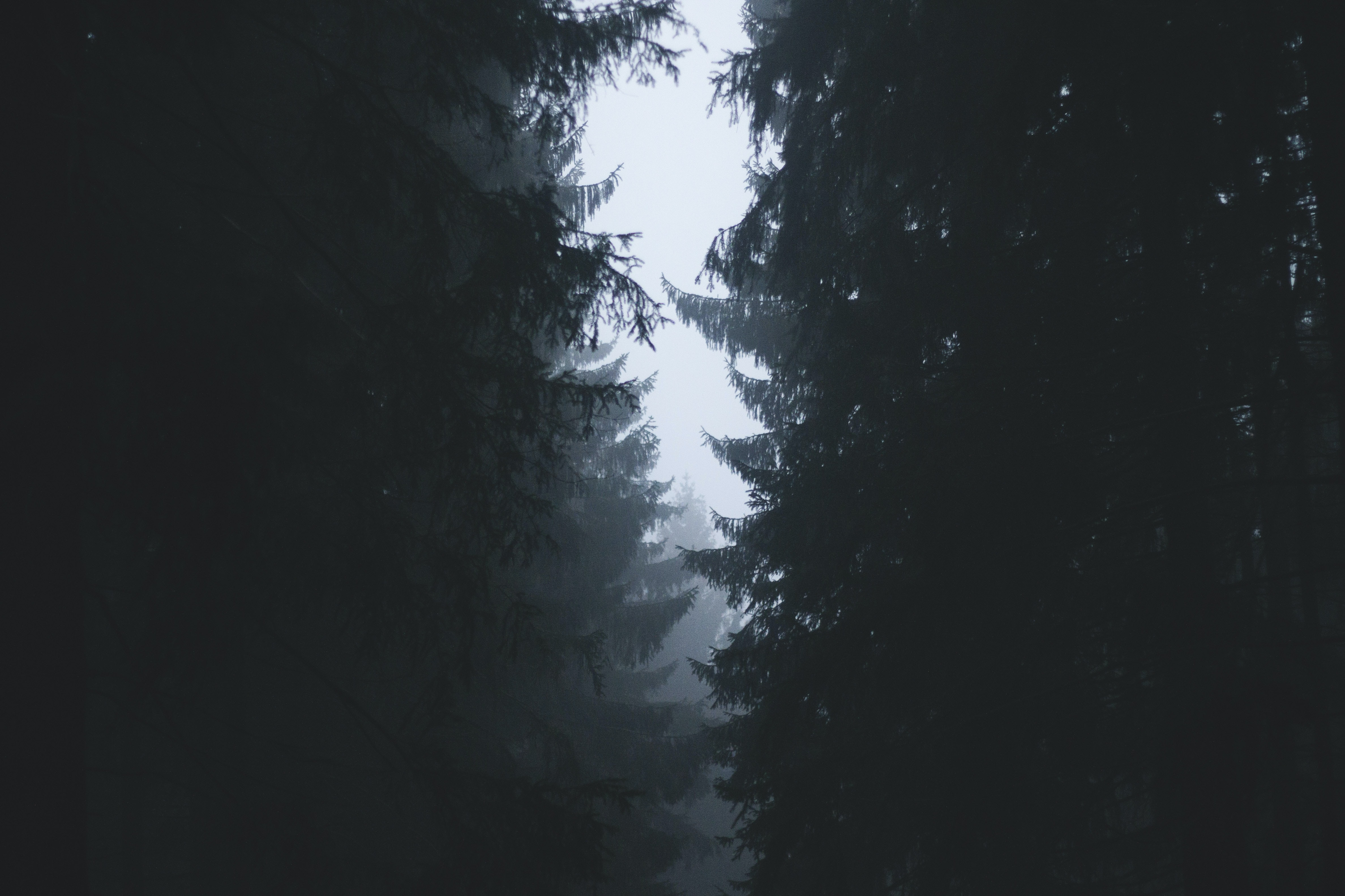 Pale sky in a gap between two lines of evergreen trees