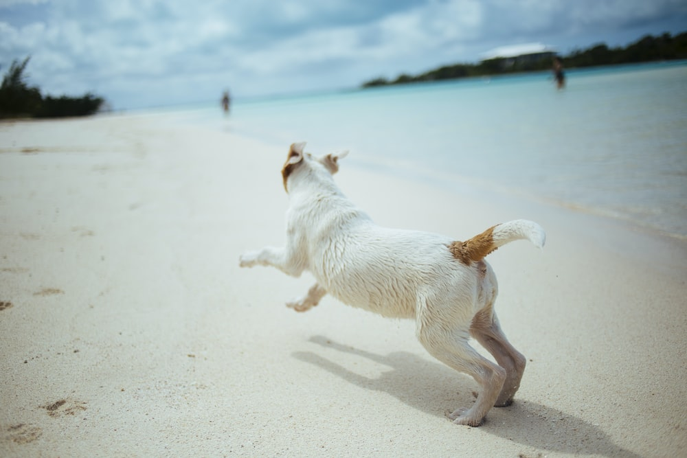 short-coated white and brown dog running in the seashore