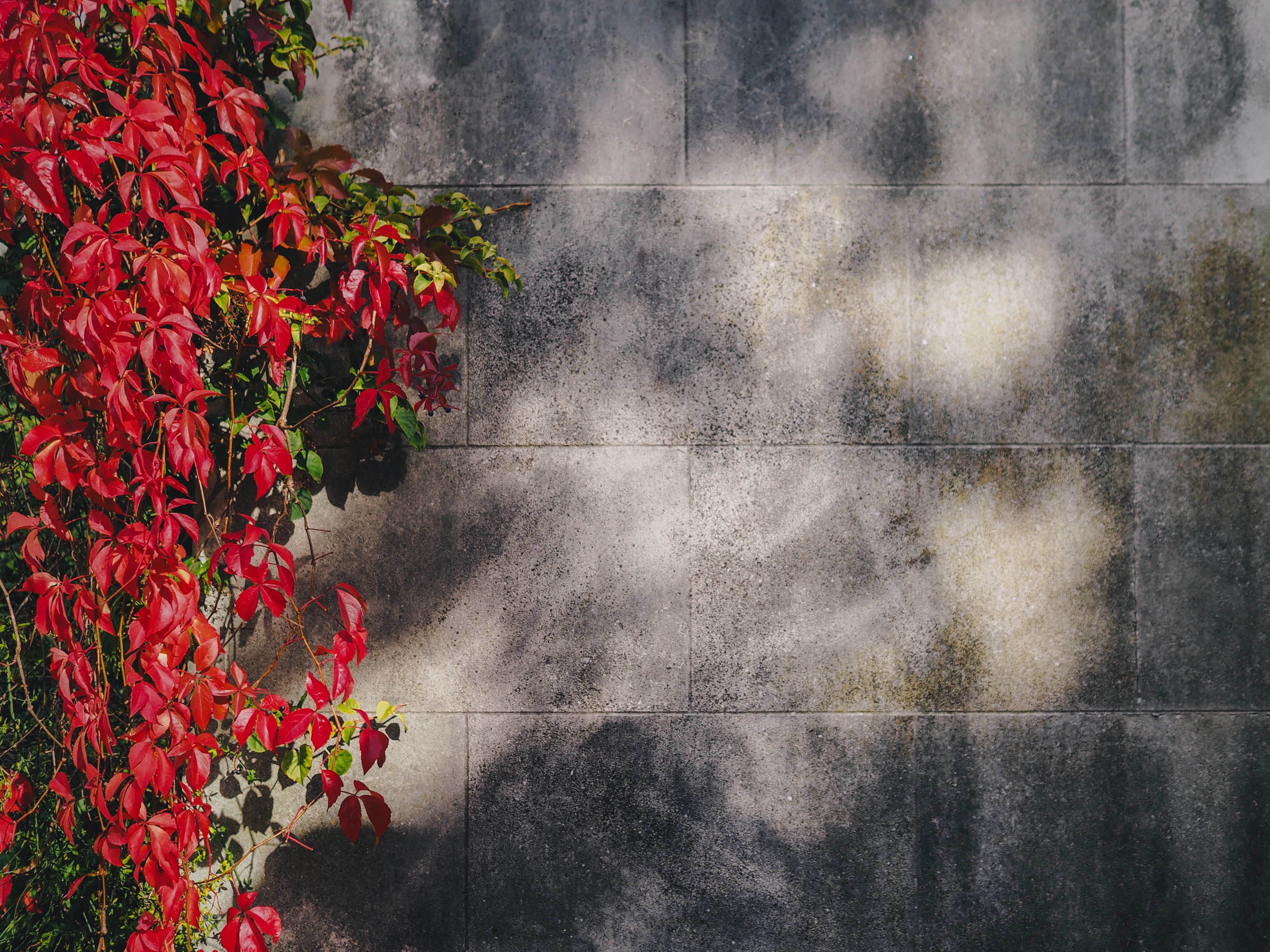 Red leaves and vines against a concrete wall during fall