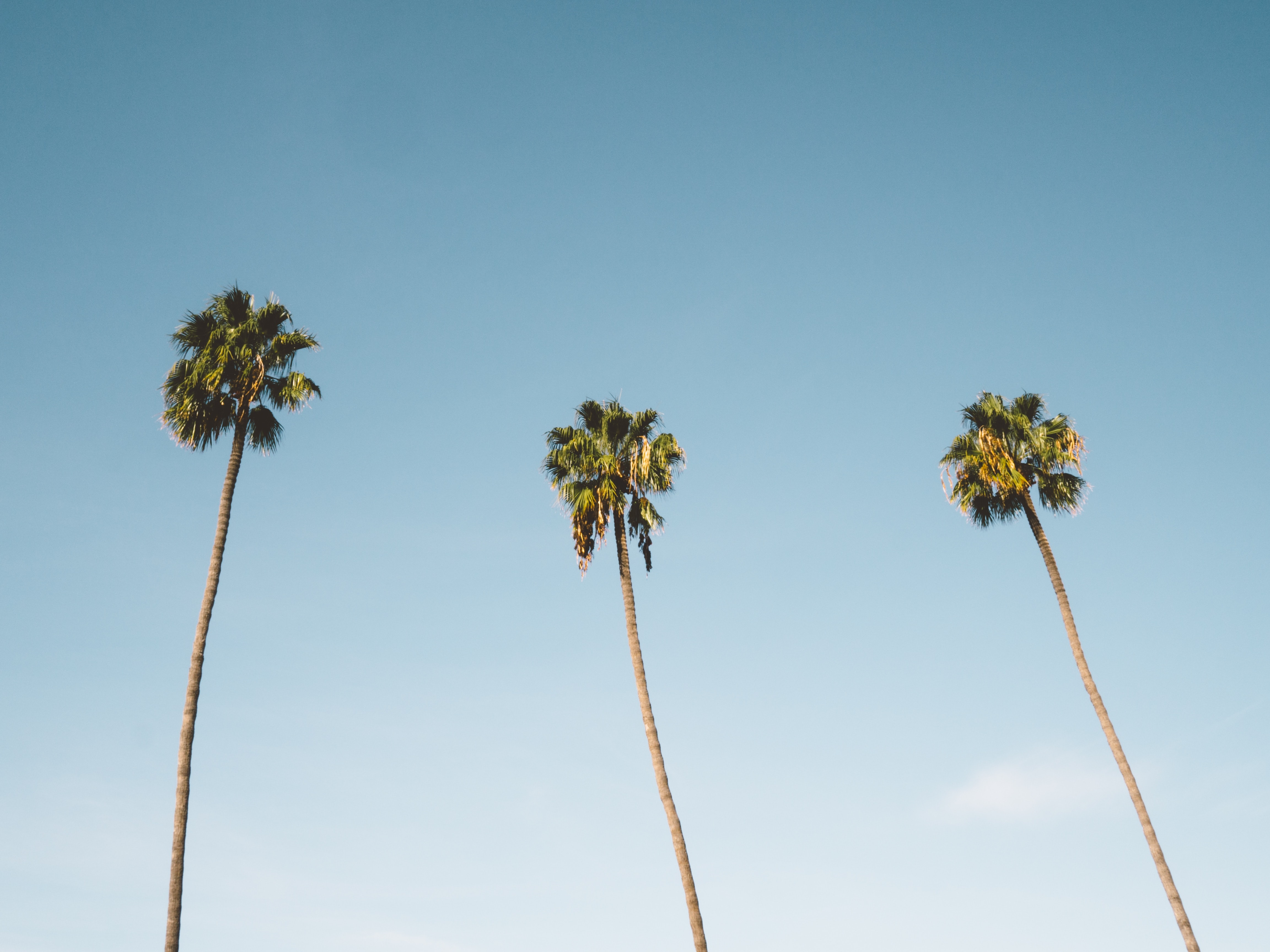 Three palm trees against the sky in San Diego