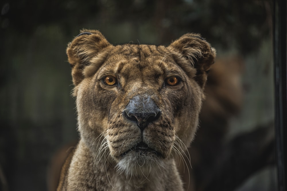 A macro view of a lioness showing its eyes mouth and and whiskers in a wild life