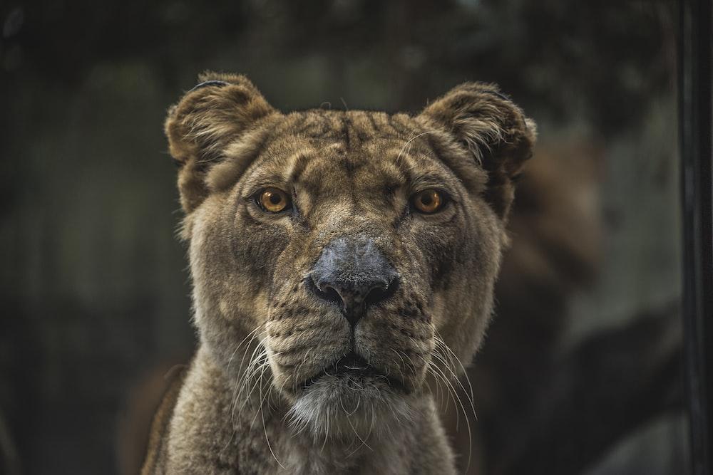 Lioness illustration