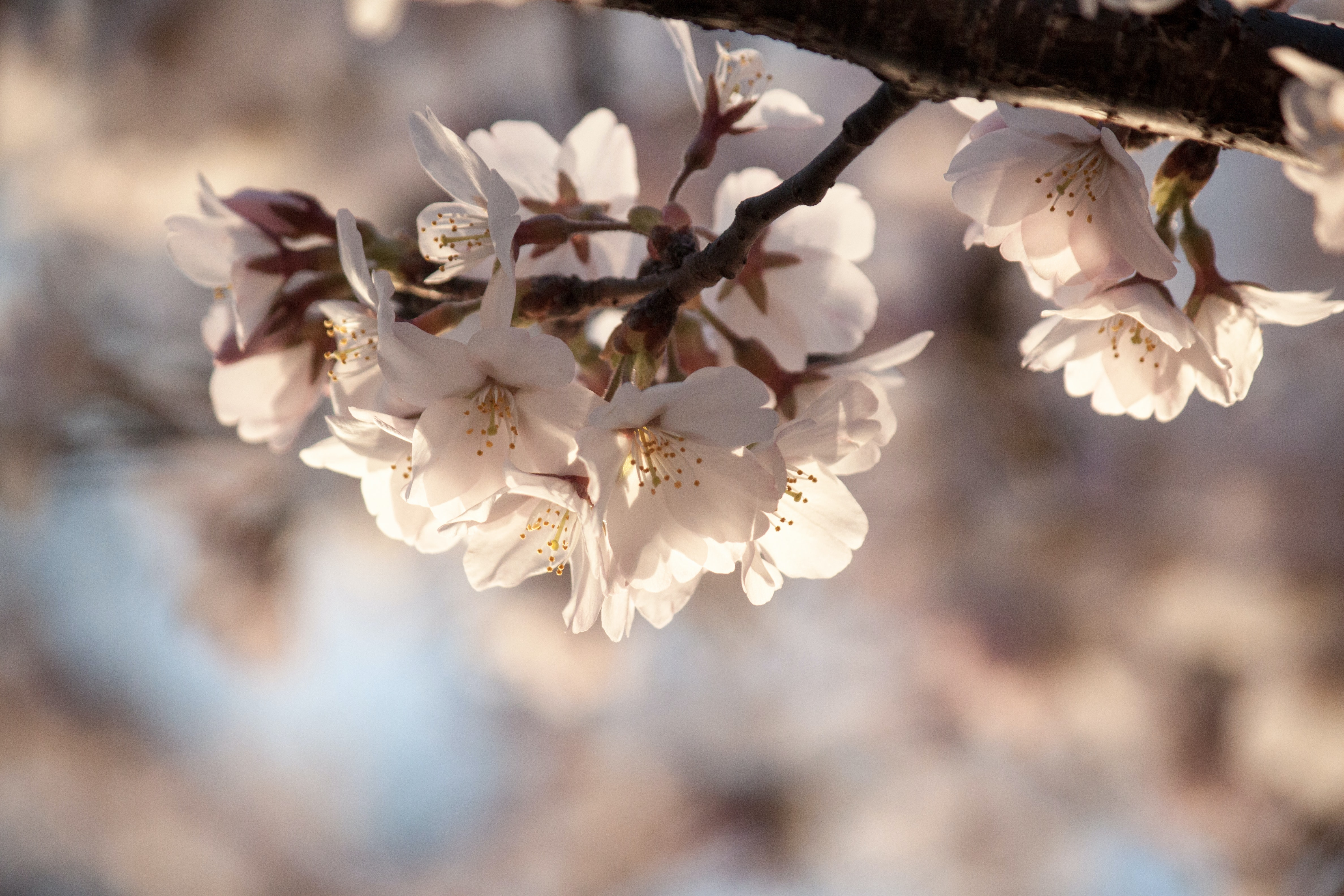 White blossom in clusters on a tree brunch
