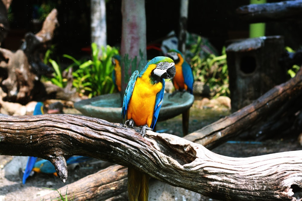 blue and yellow macaw perching on wood