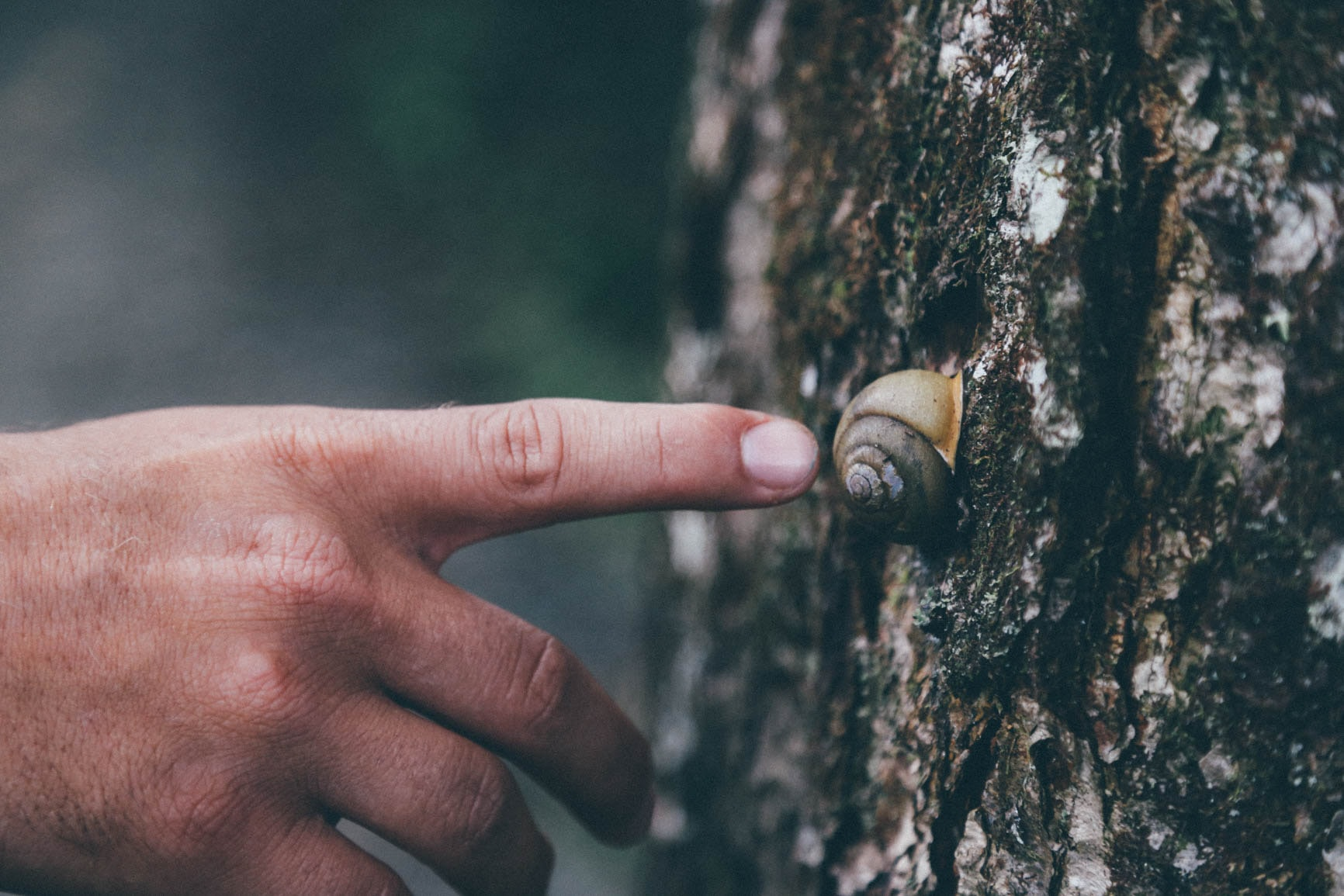 A man's finger outstretched in the direction of a snail hiding in its shell on tree bark