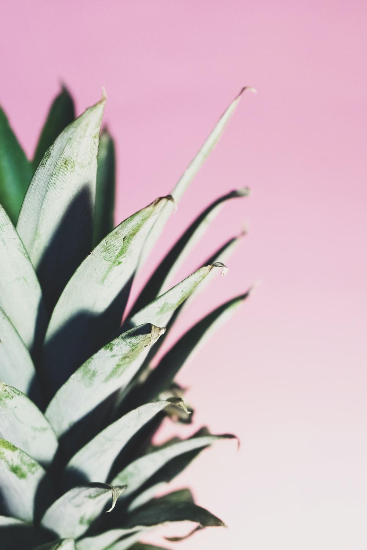 green pineapple plant