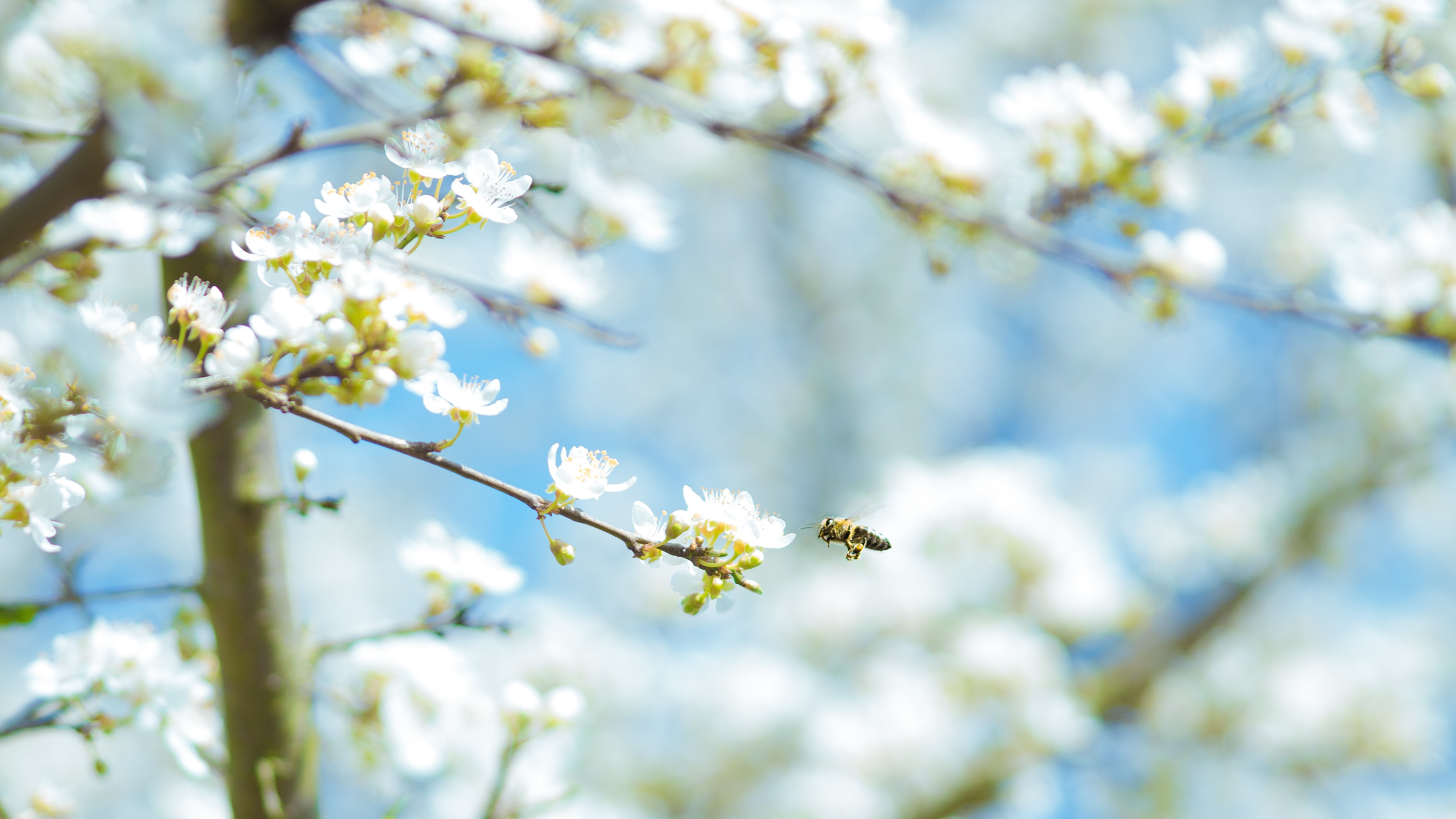 Insect flying towards branch with white blossom bud in bloom in Spring with blue sky