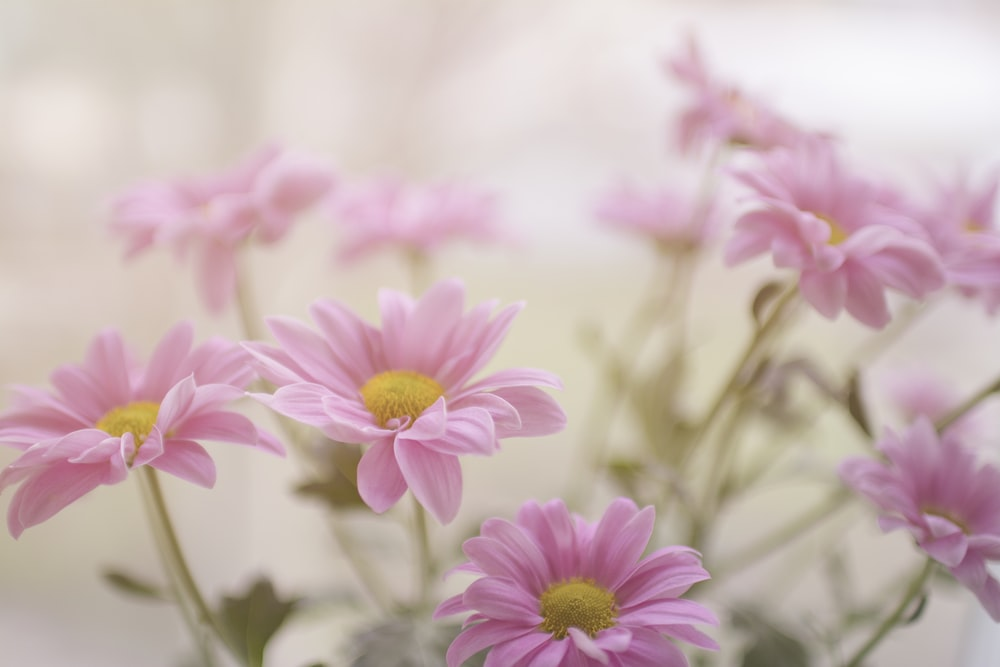 pink daisy flower plant