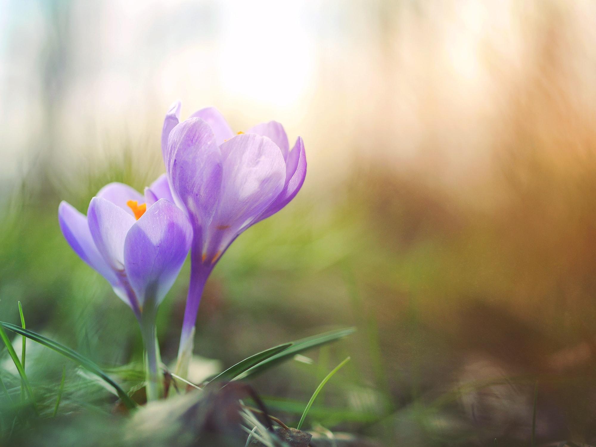 crocus-pair-bloom
