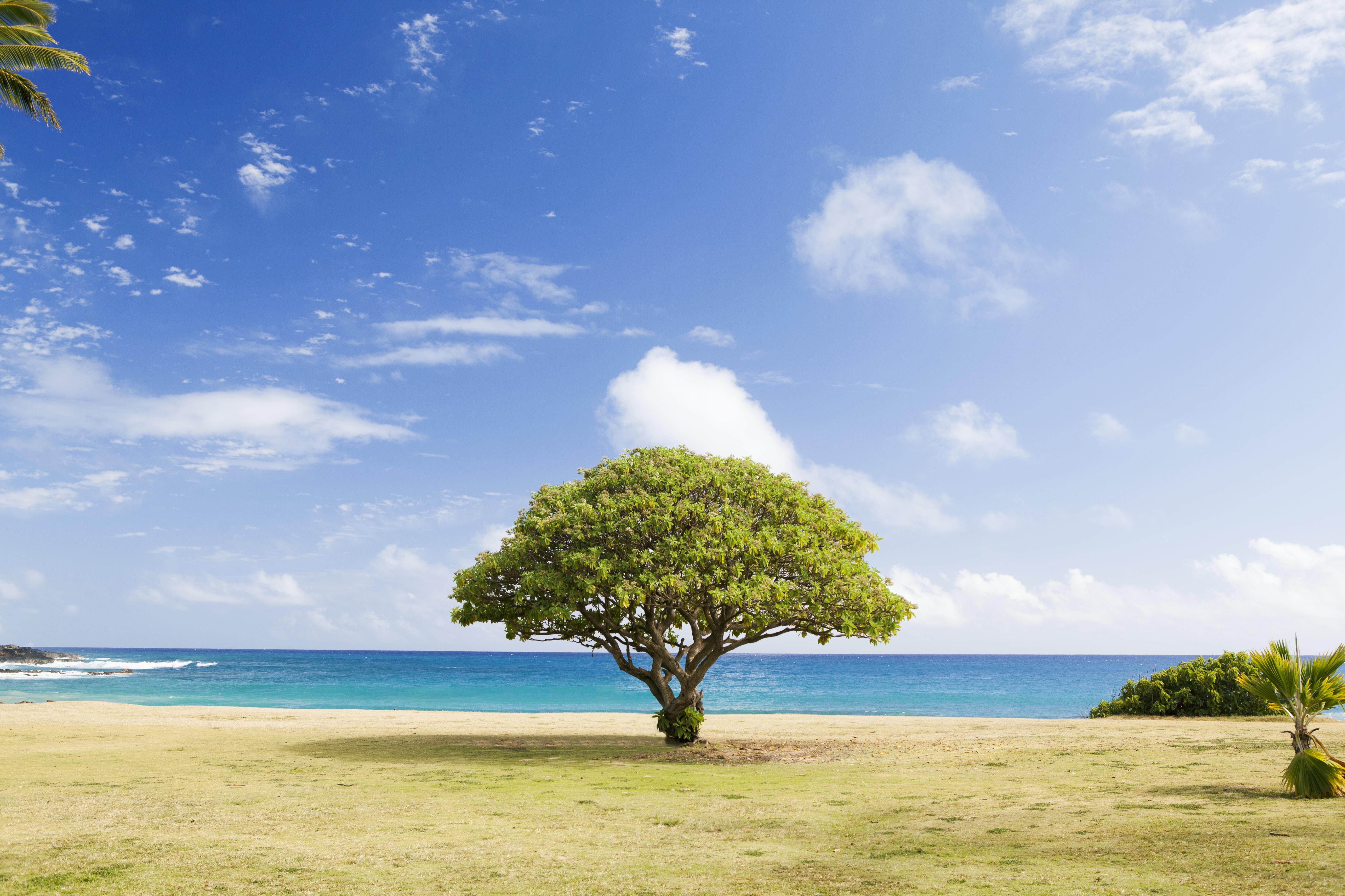 Lone green treetop tree on the coastline field at Poipu Beach