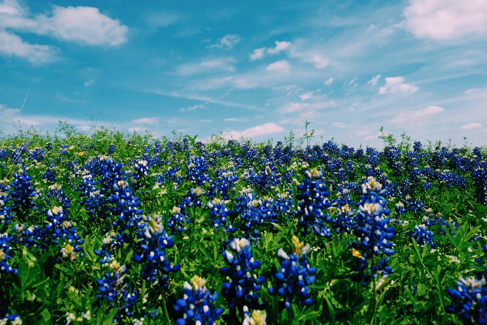 blue petaled flowers under white clouds photo