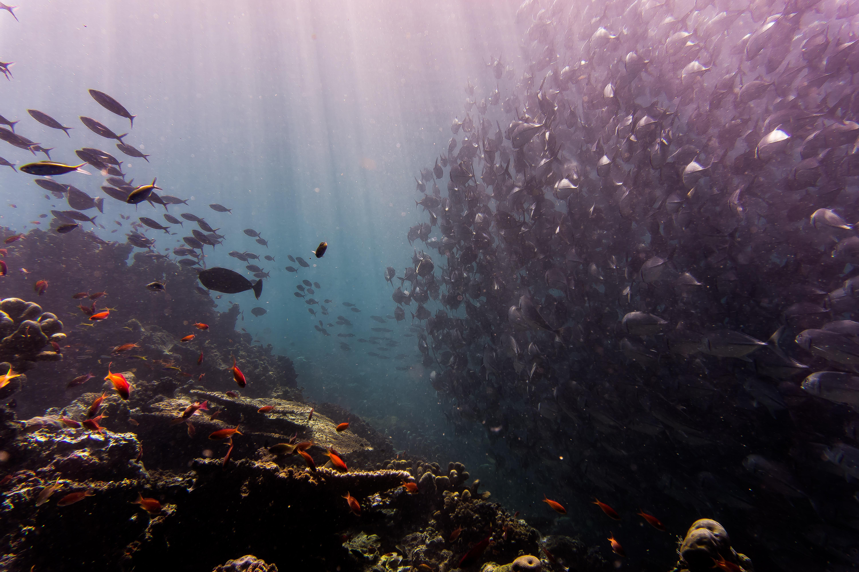 A large shoal of fish near the sea bottom