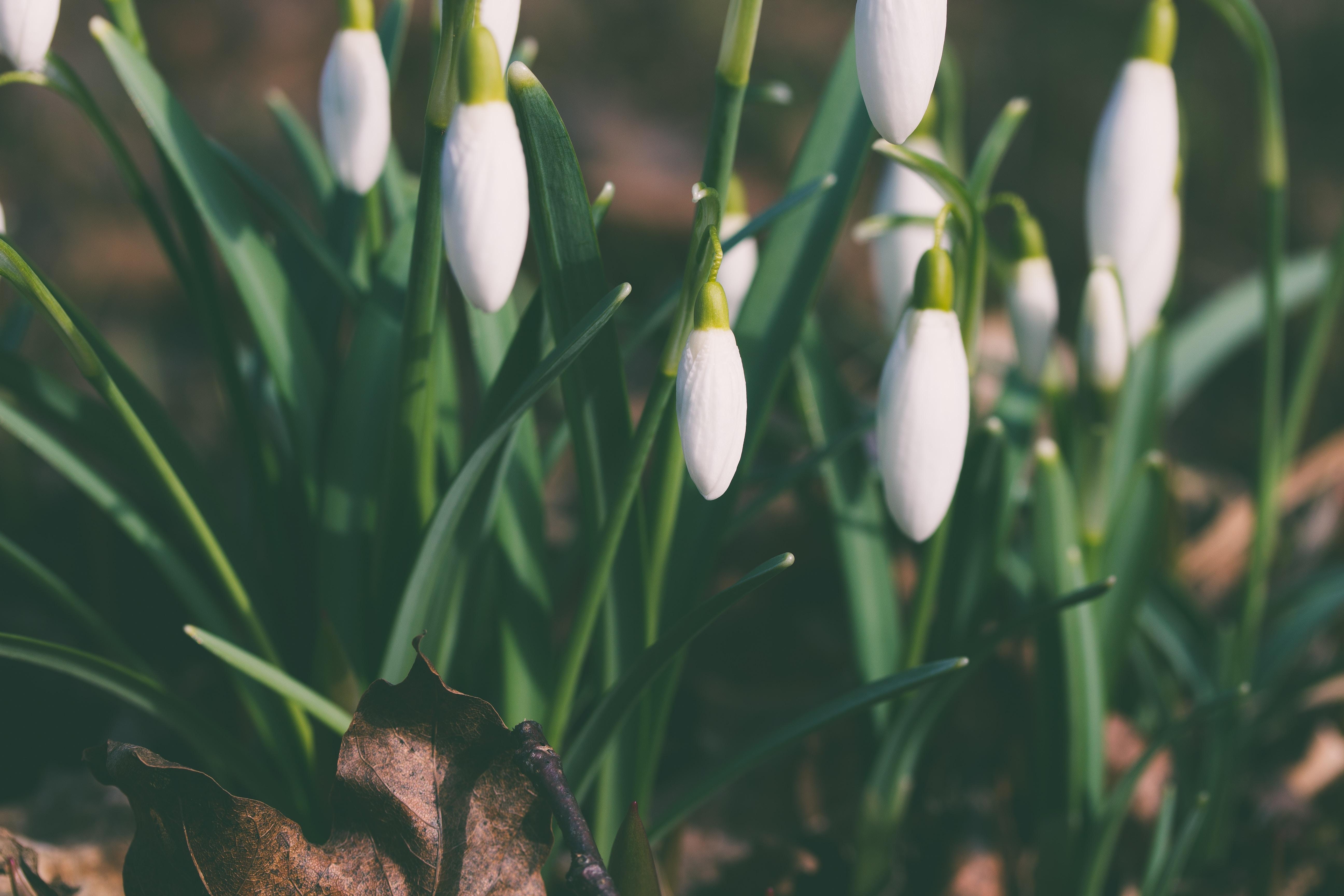 Close up white snowdrop flowers, petal and leaf in Spring, Pihtla Parish