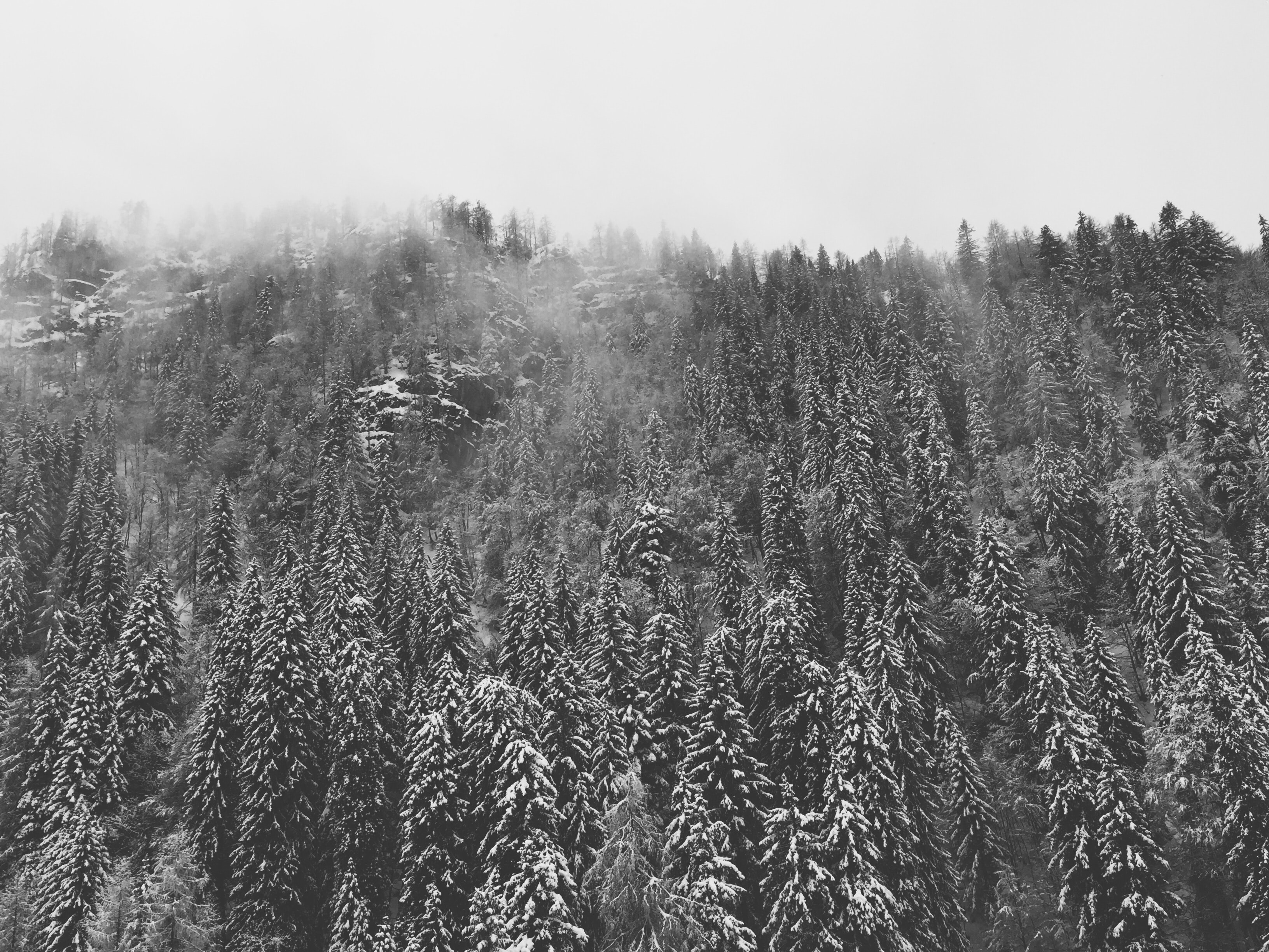 scale grey photography of pine tree forest