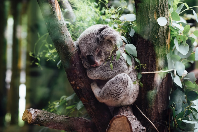 每天睡逾12小時無尾熊男孩 罹罕病不減生命廣度